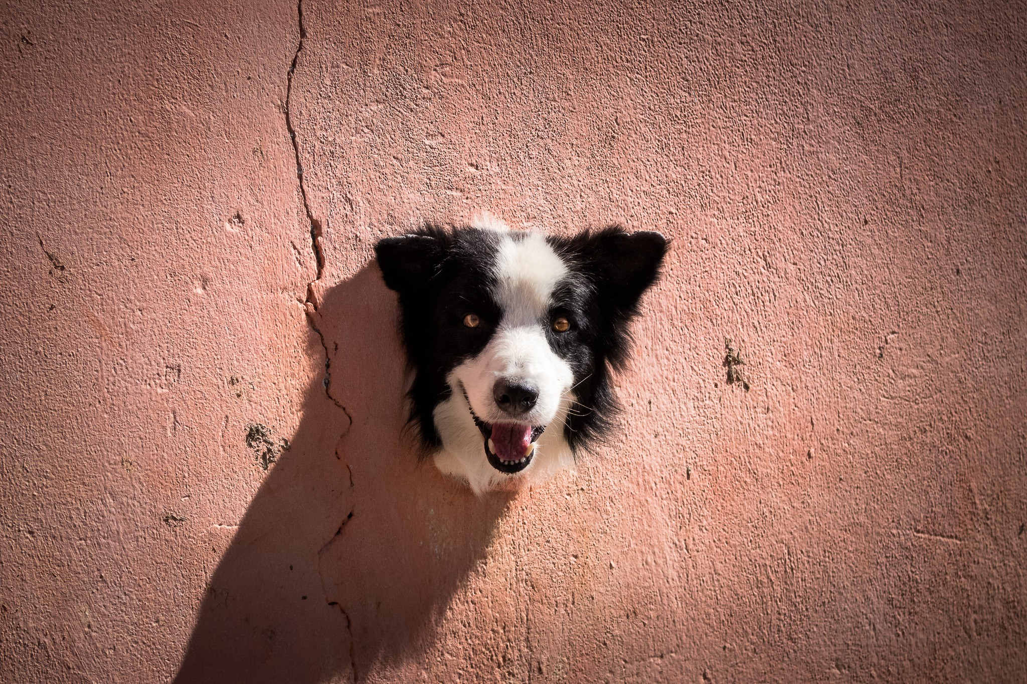 A border collie dog sticks her head out of a hole in a large red brick wall, smiling towards the camera lens
