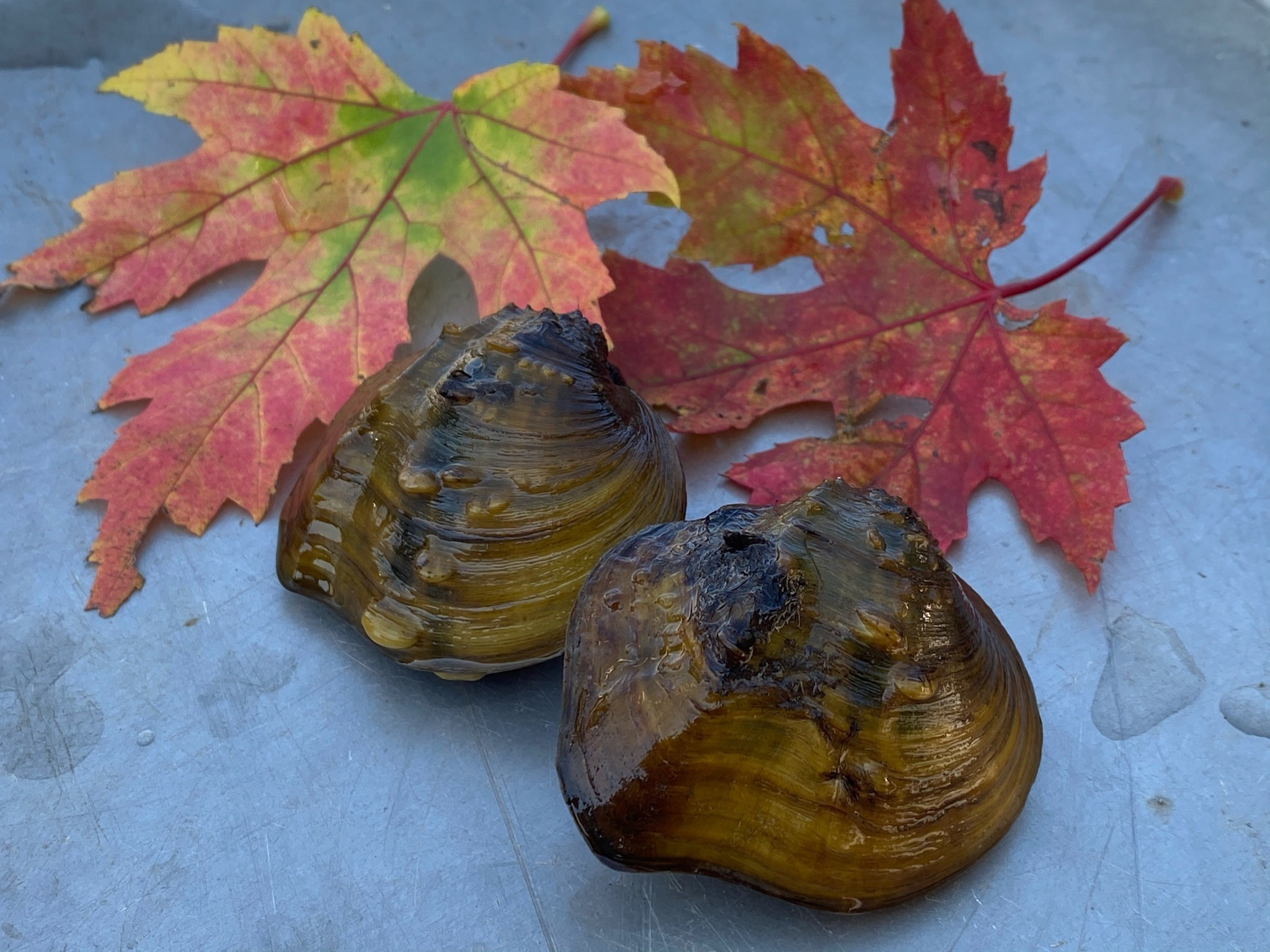 Two mussel on a flat surface surrounded by two red maple leaves.
