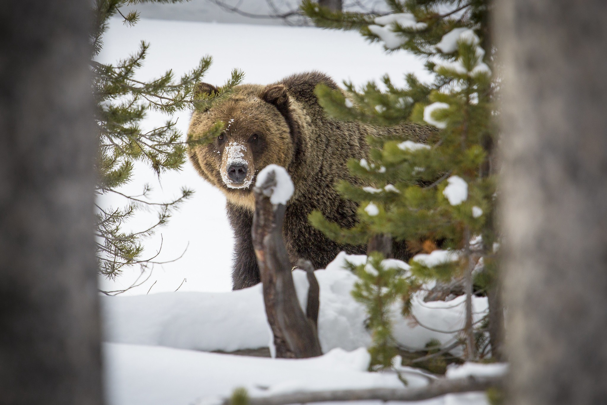 Grizzly bear in snow peaking out from behind pine trees