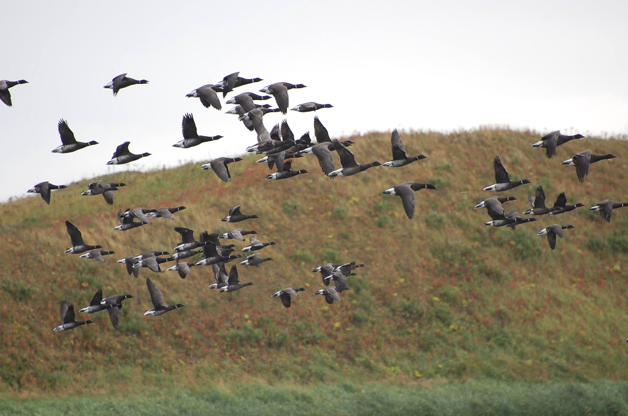 a flock of Pacific black brant take off