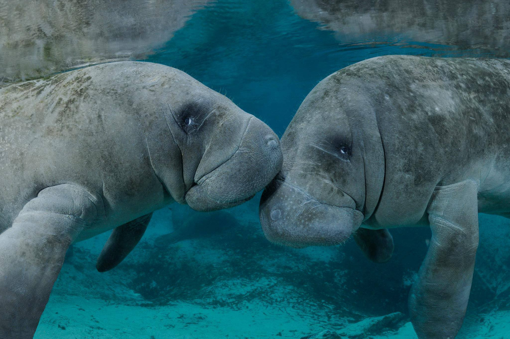 Two manatees touches noses underwater