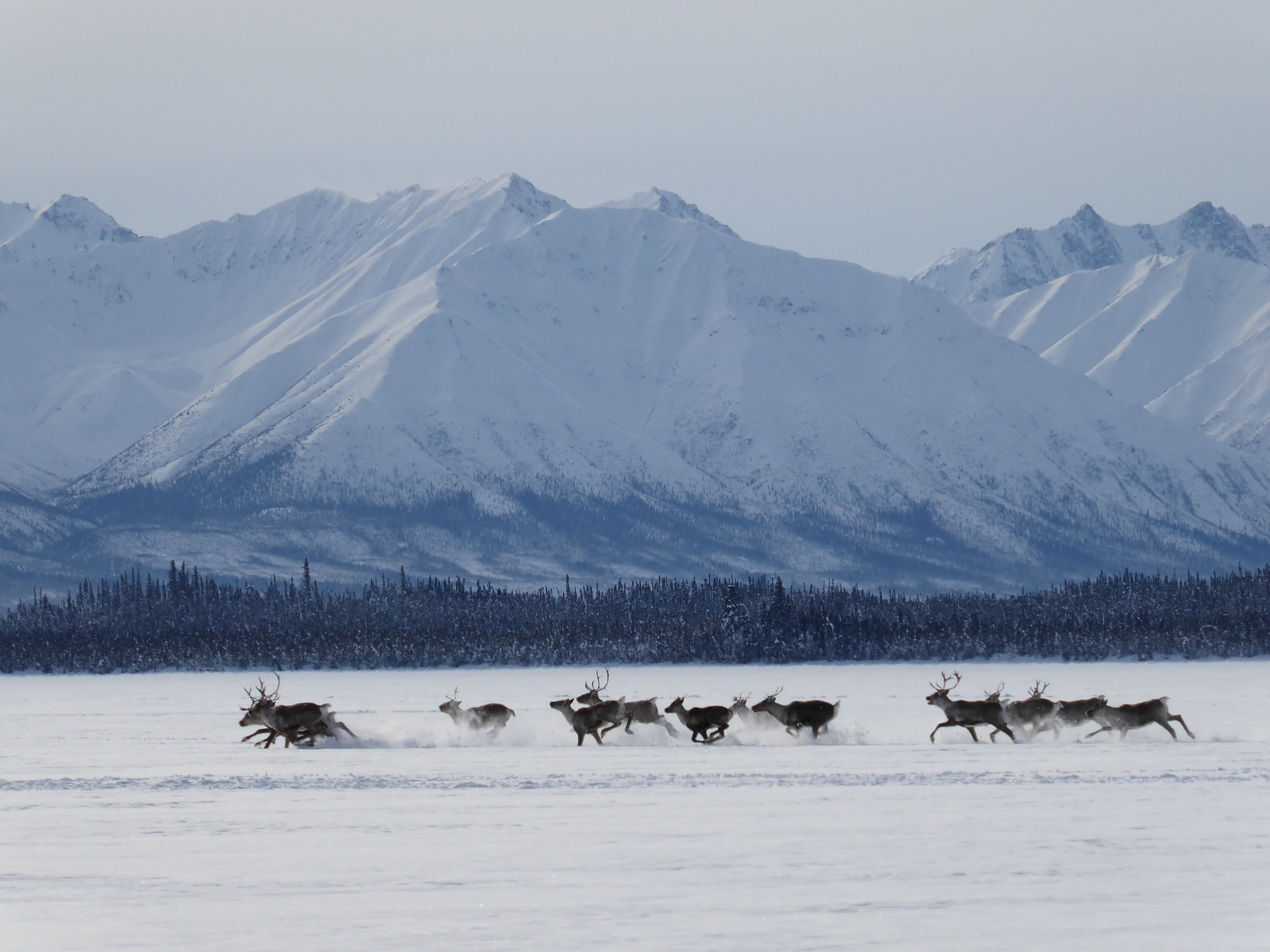 herd of caribou running on snowy landscape with mountains in background