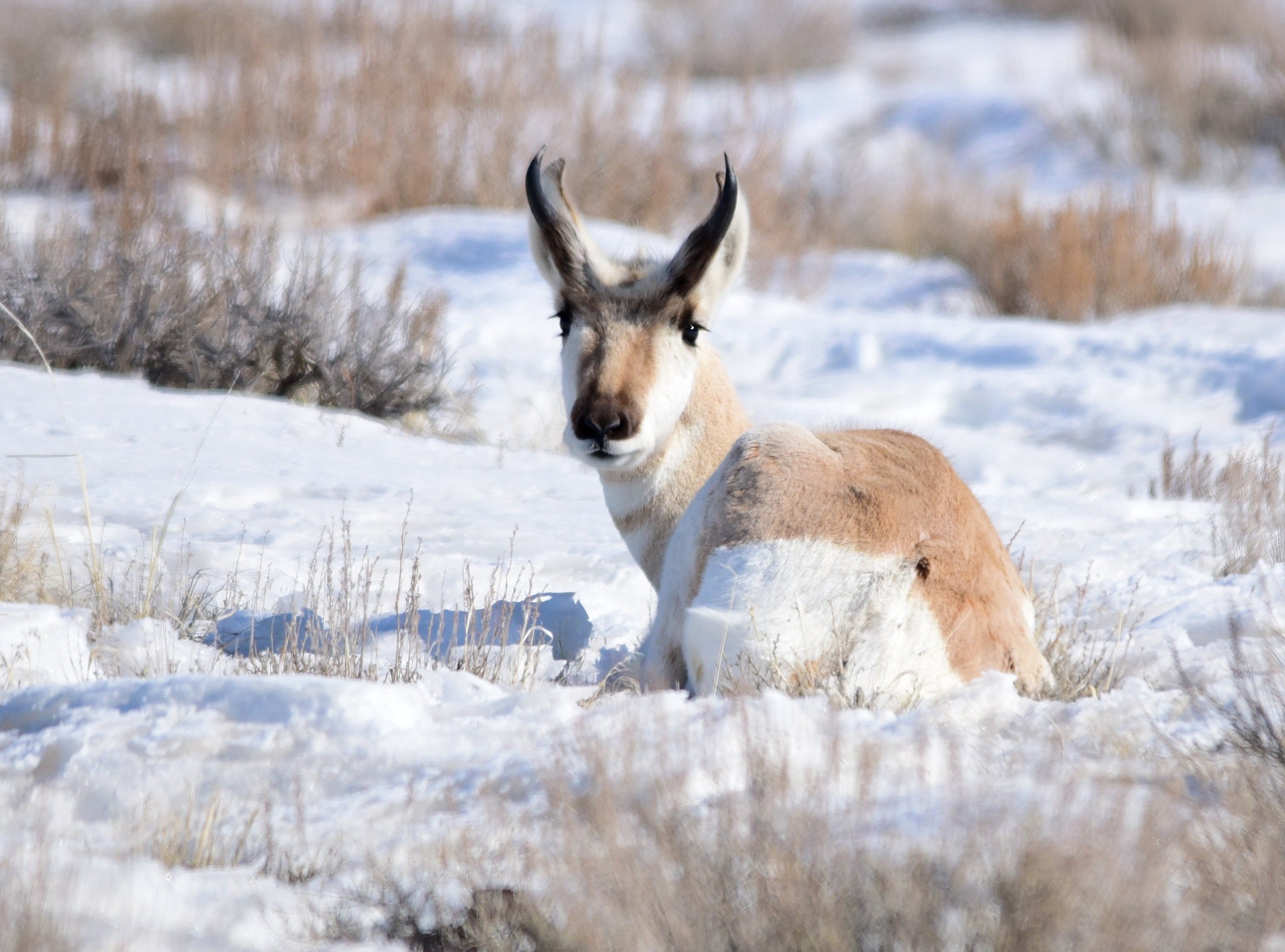 Pronghorn laying the snow surrounded by sagebrush