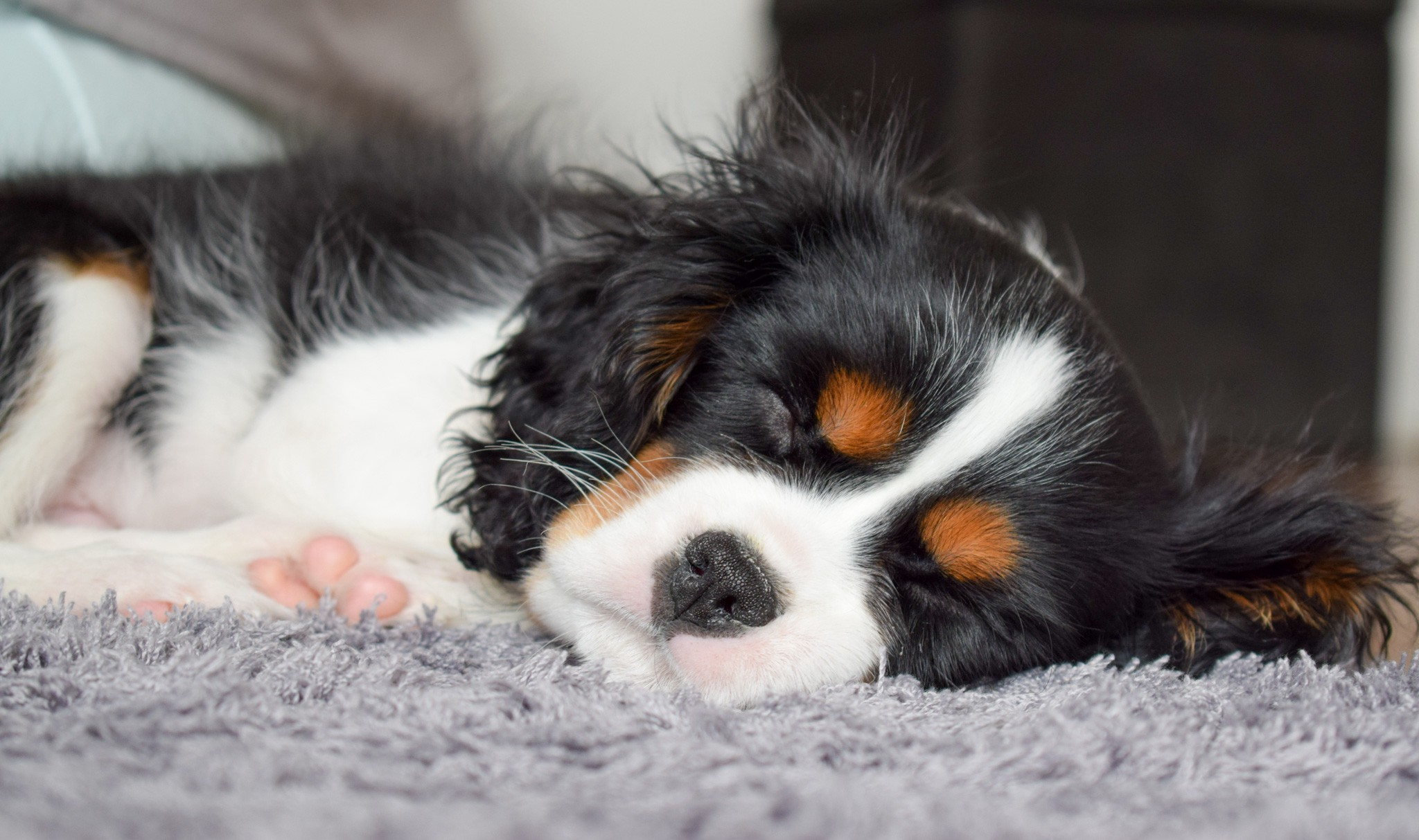 close up of Tricolor Cavalier King Charles Spaniel puppy sleeping on a lilac rug