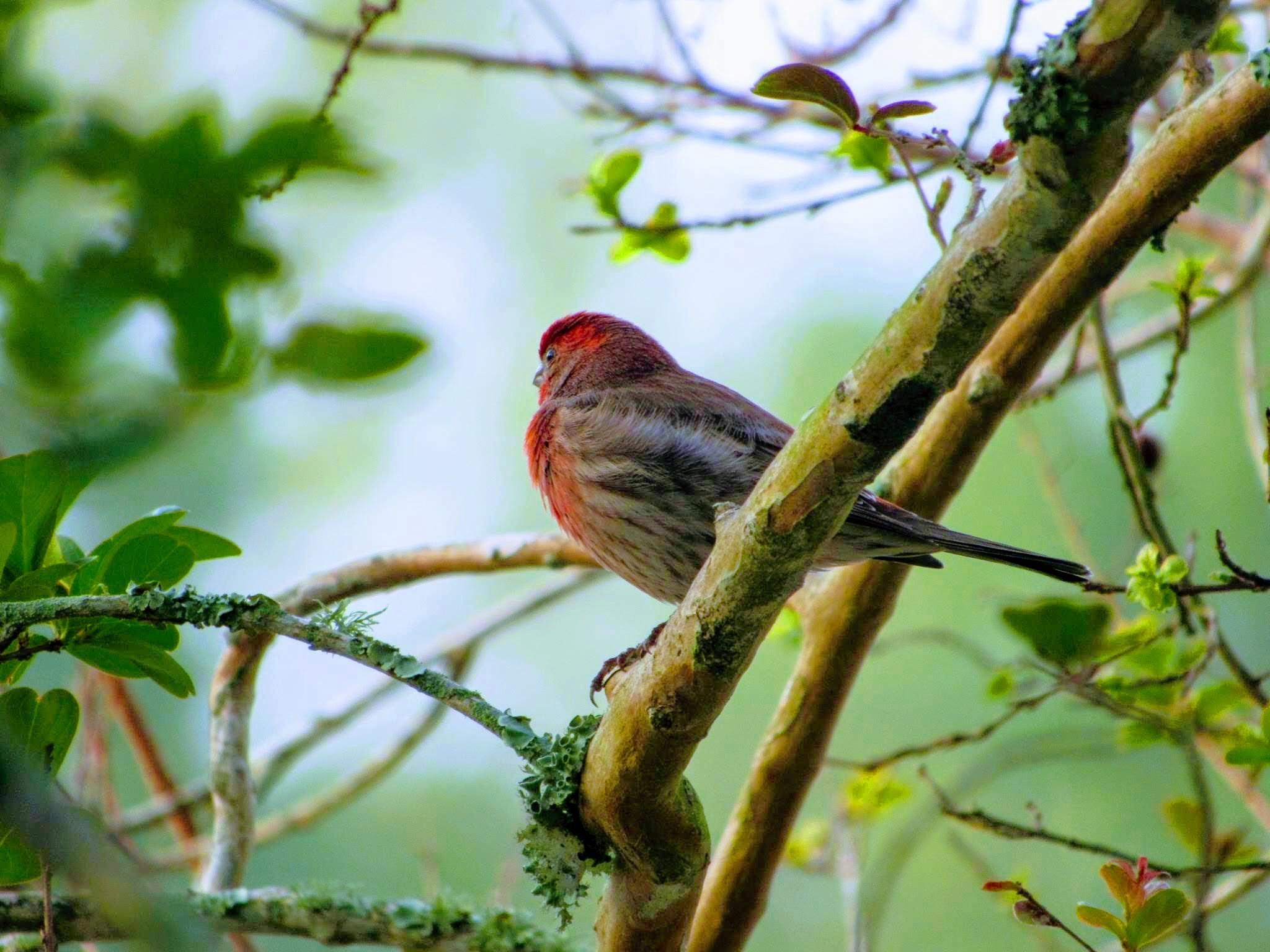 A house finch perched on a branch gazes into the abyss
