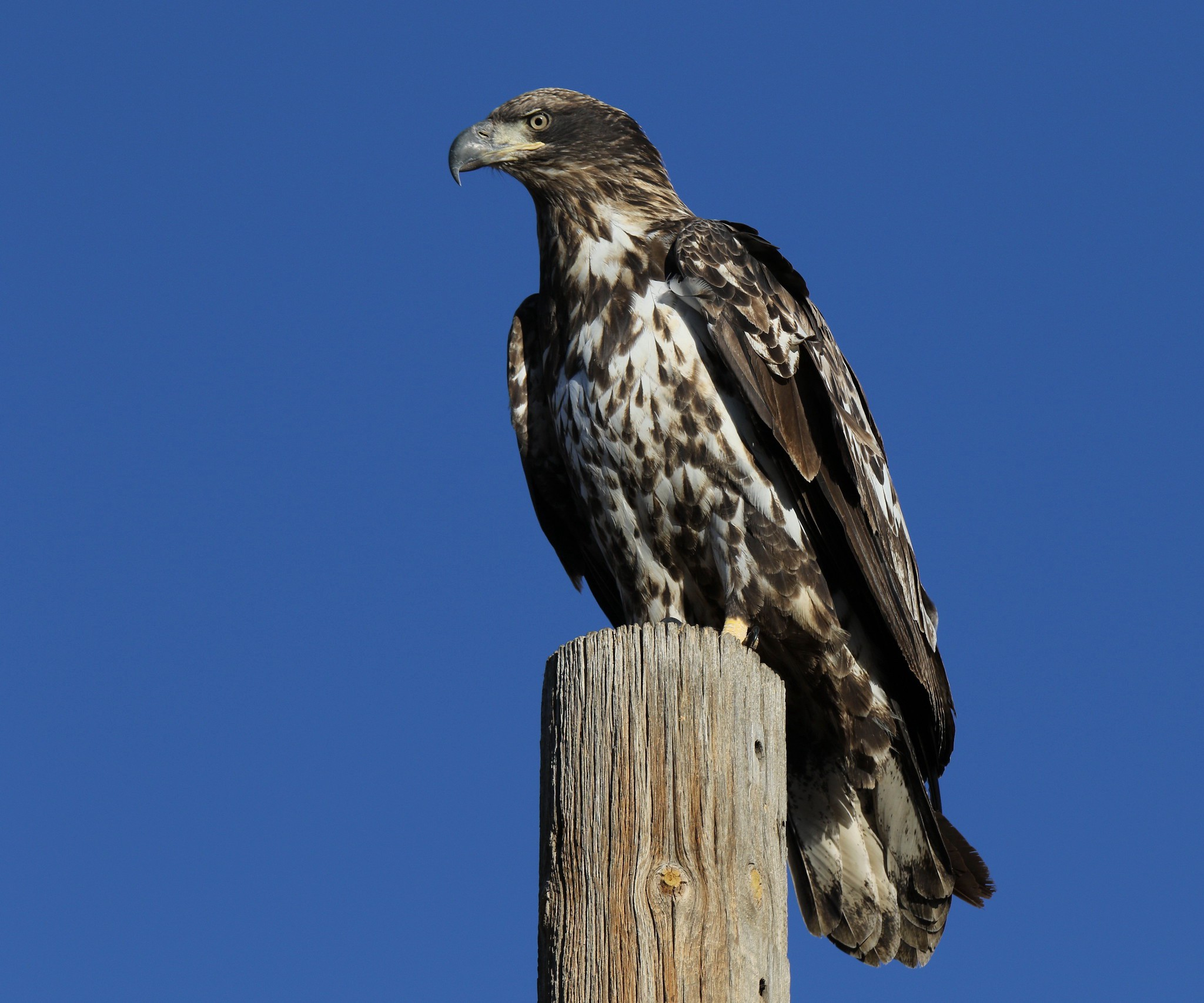 immature bald eagle with white splotchy feathers perched on a utility pole