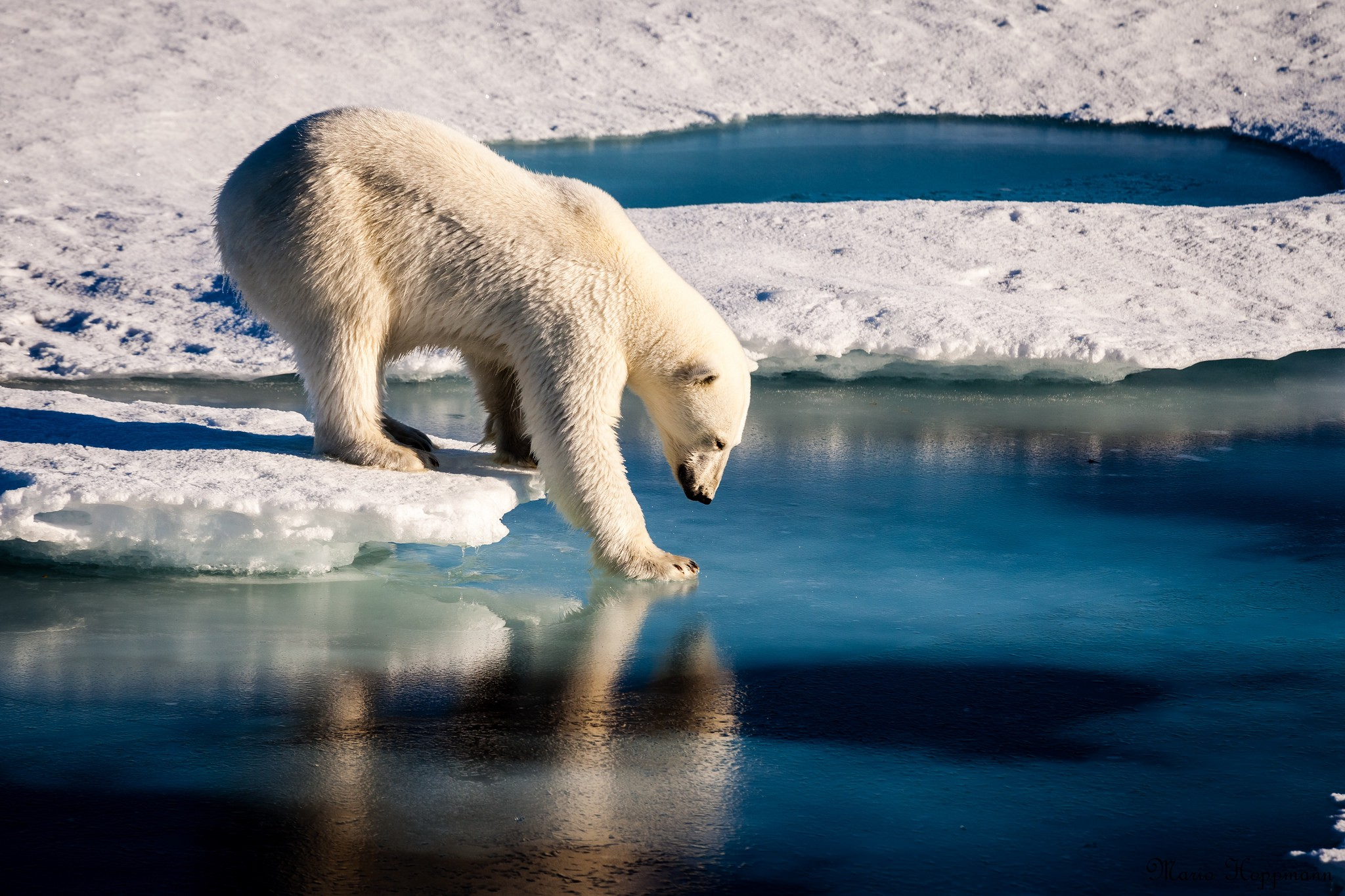 Polar bear standing on an ice-sheet reaching out to touch the water
