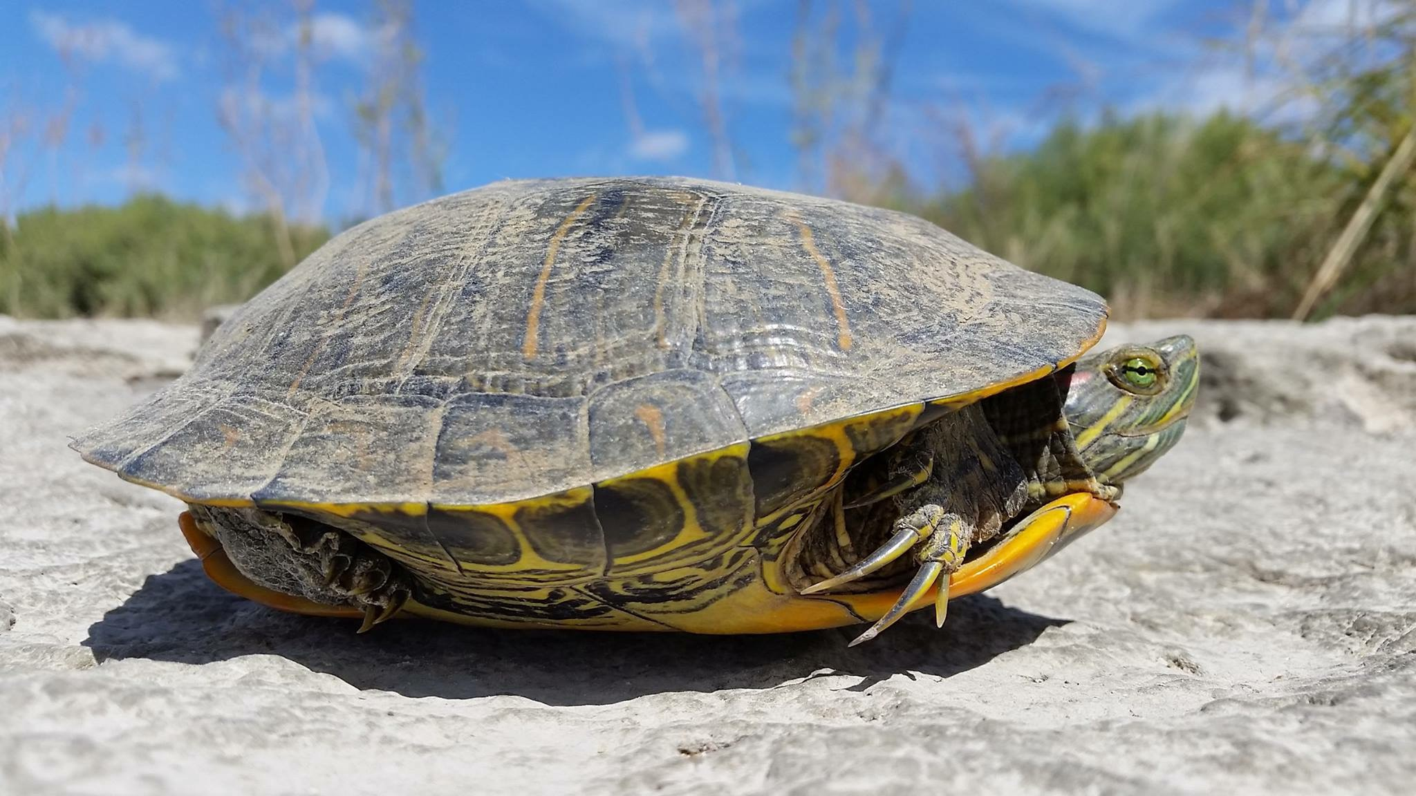 Tips for Helping a Turtle Cross the Road - Updates from the