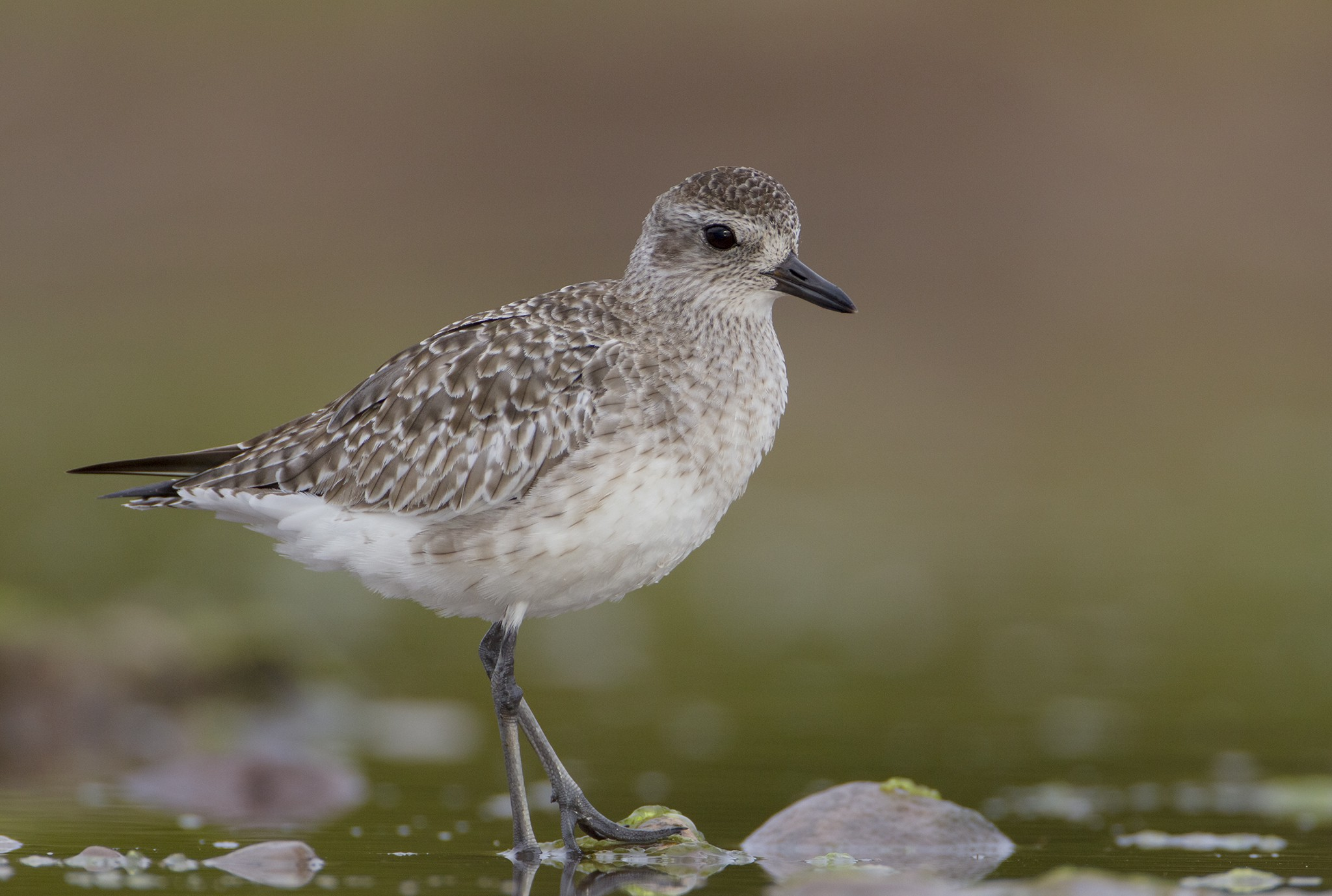Black-bellied Plover in basic plumage stands near shallow water
