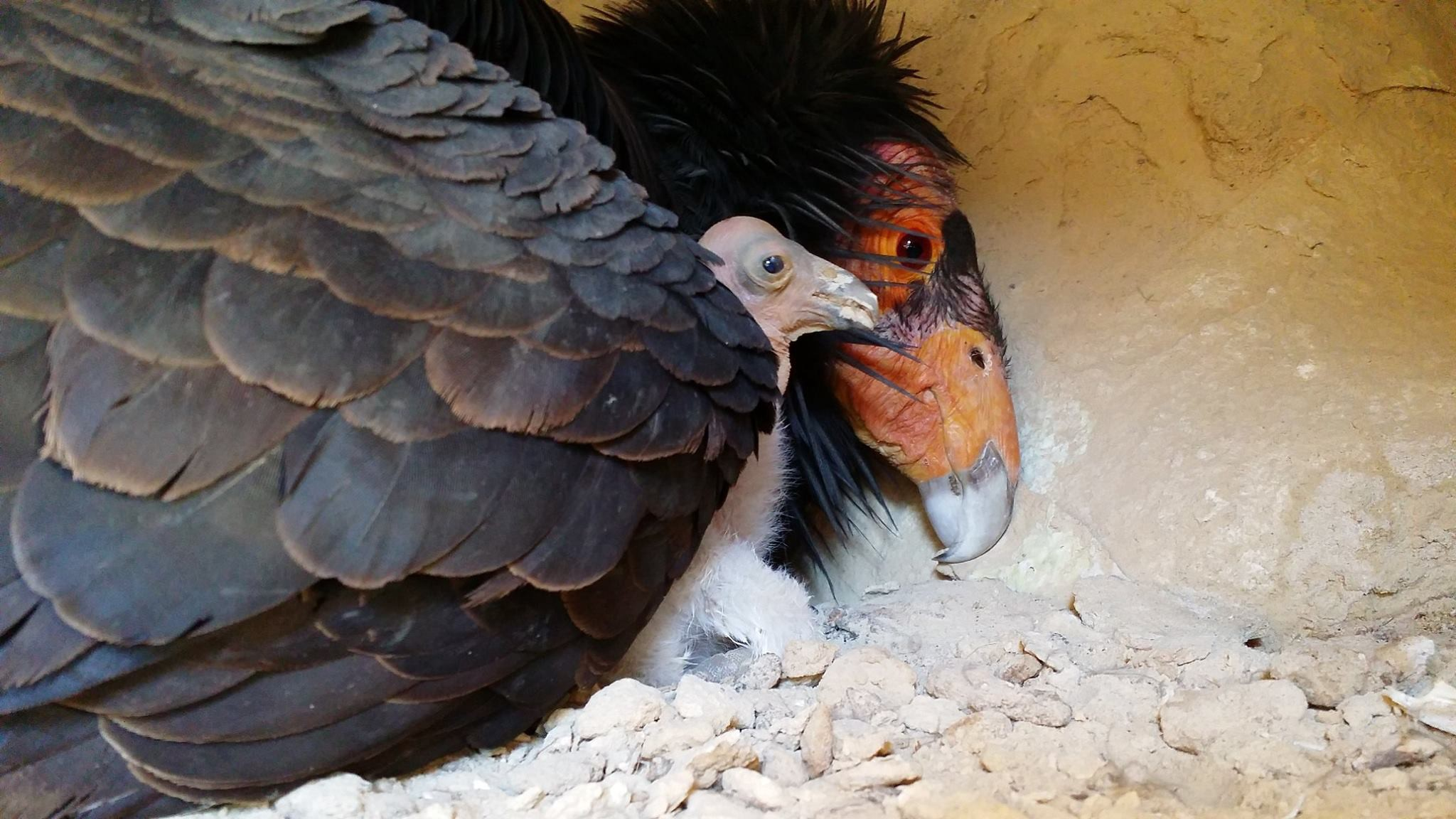 an adult California condor with a chick under her wing