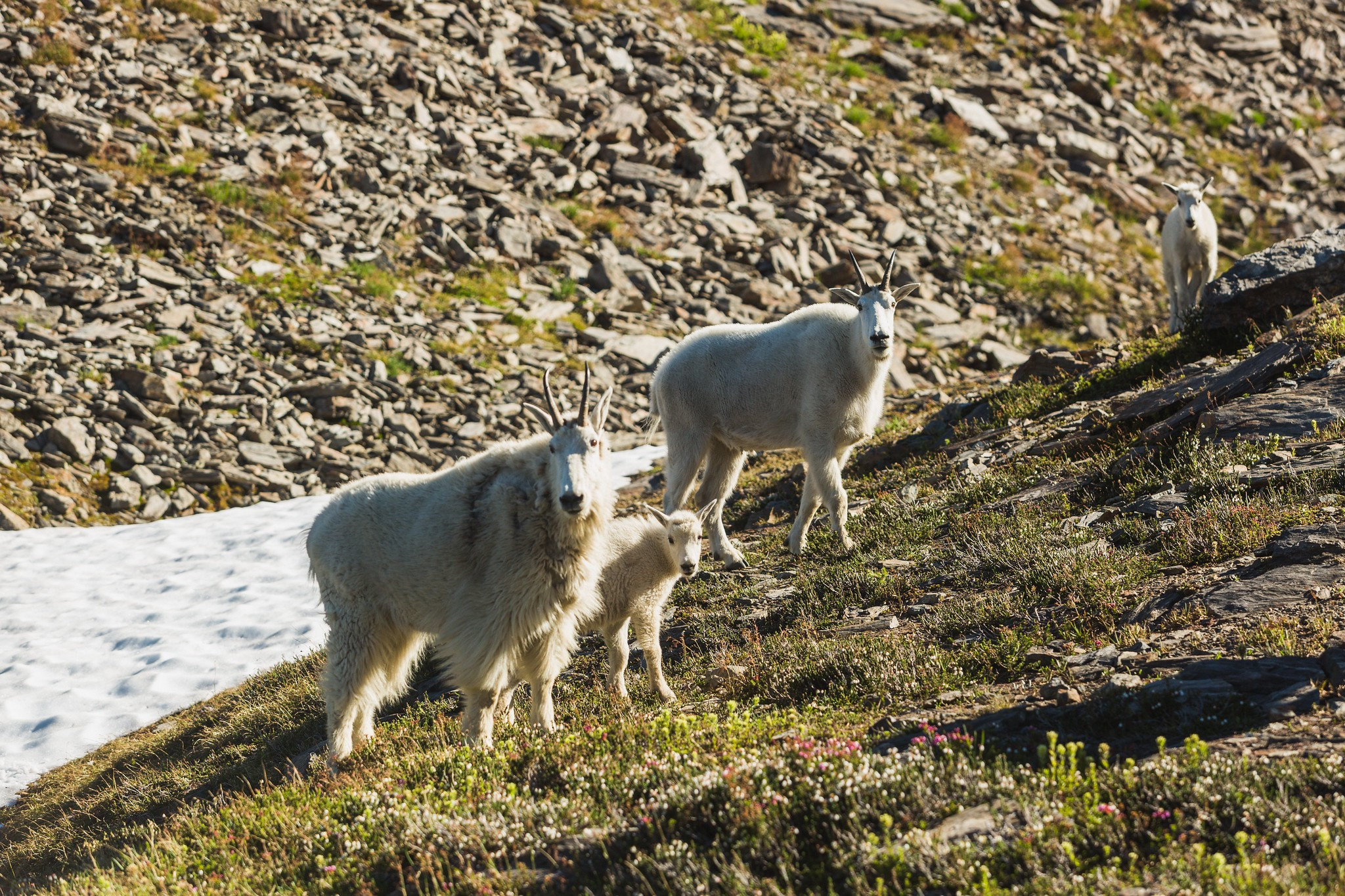 goat family in the Cascades