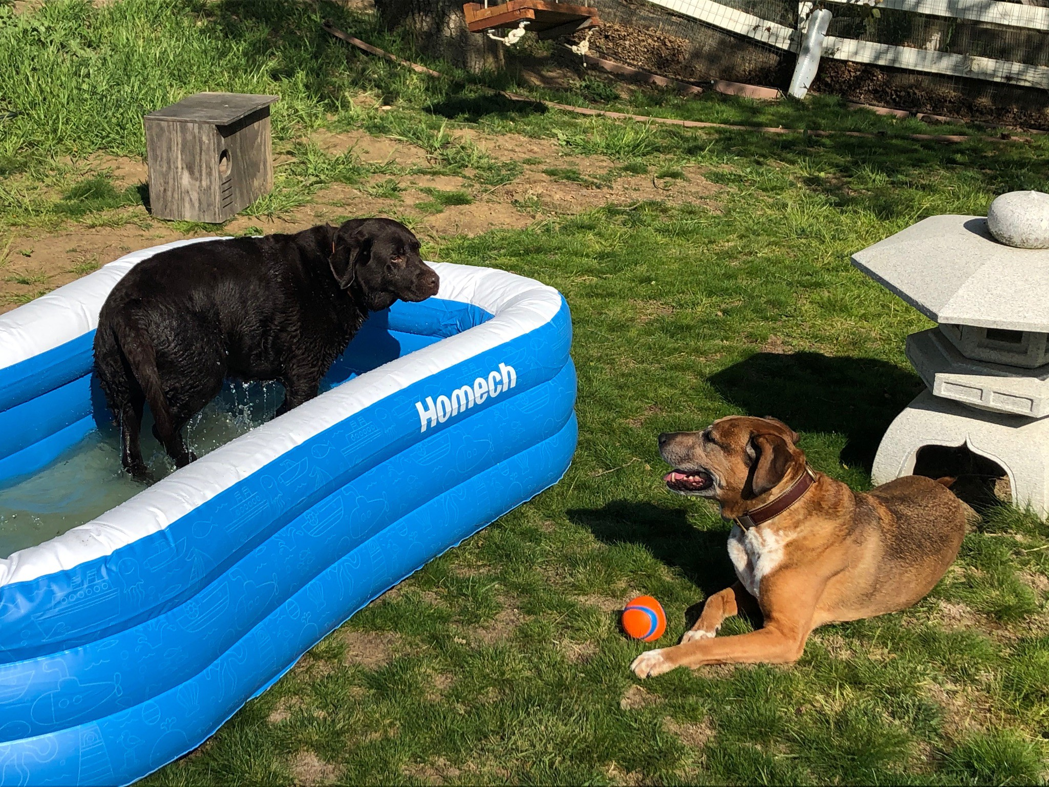 One big dog is inside an inflatable pool while the other dog looks at him