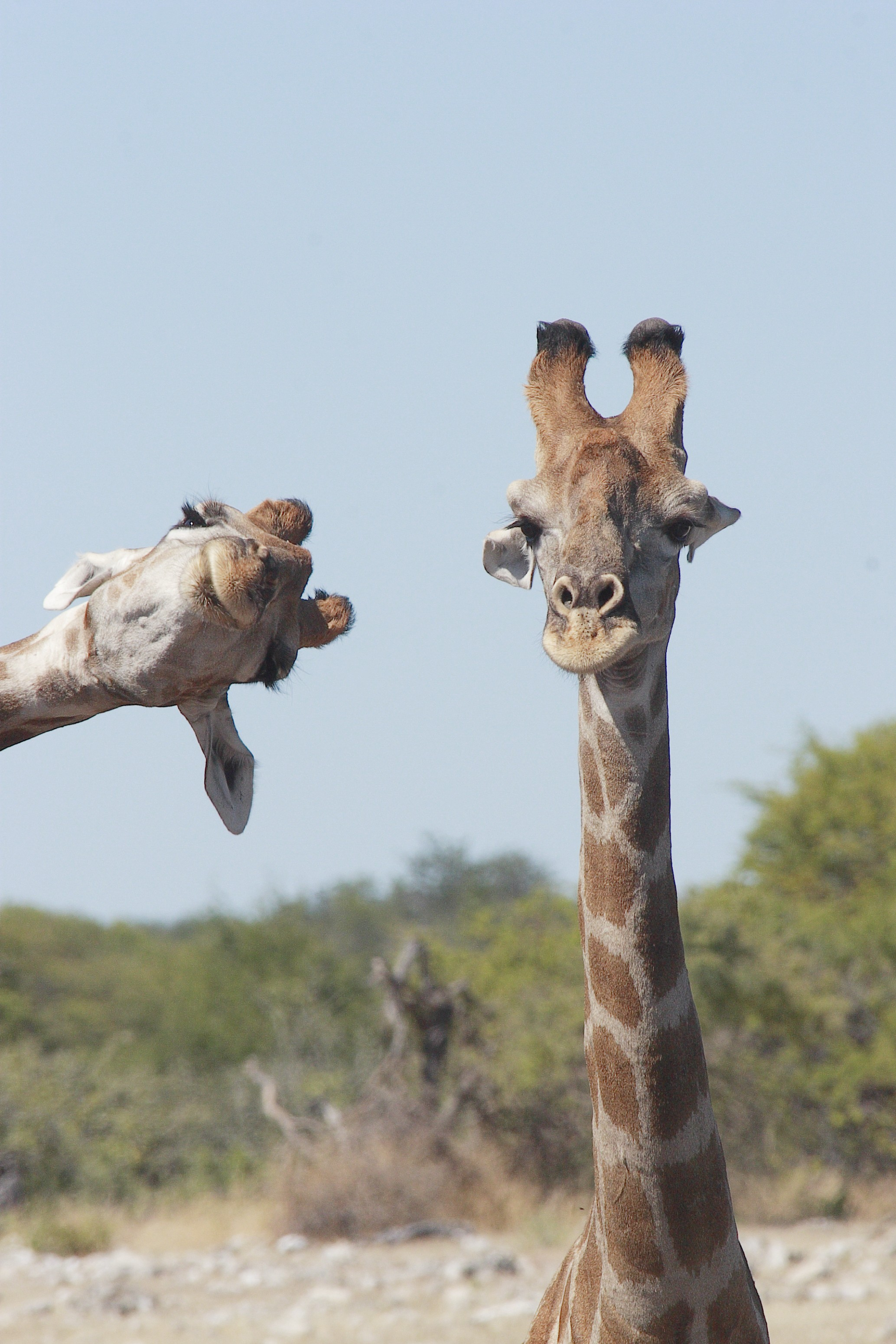 Two giraffe heads backed by sky, one appears normally in the frame and the other is poking out from the side, photobombing