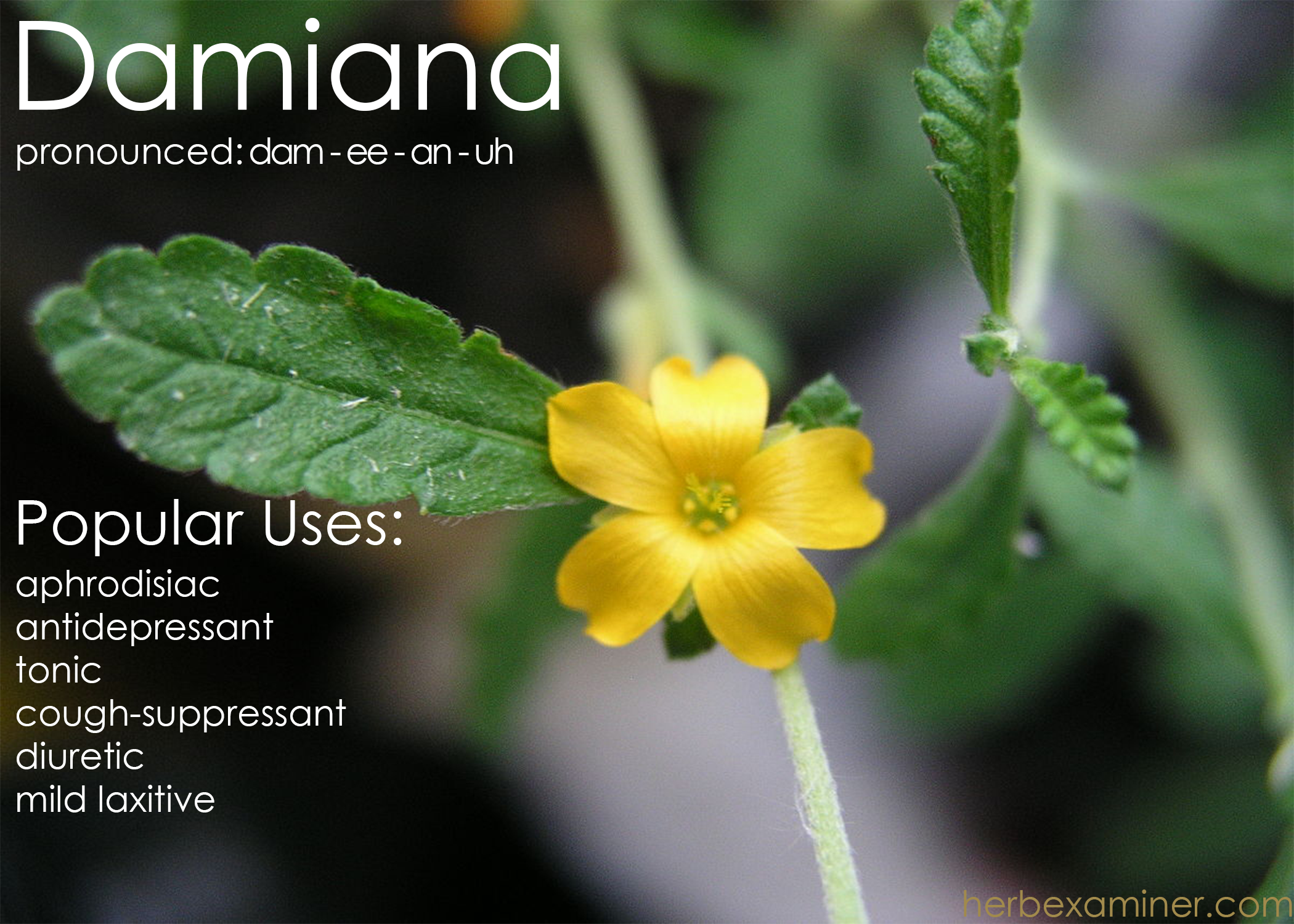 Damiana: A Quick Glance - Herb Examiner - Medium
