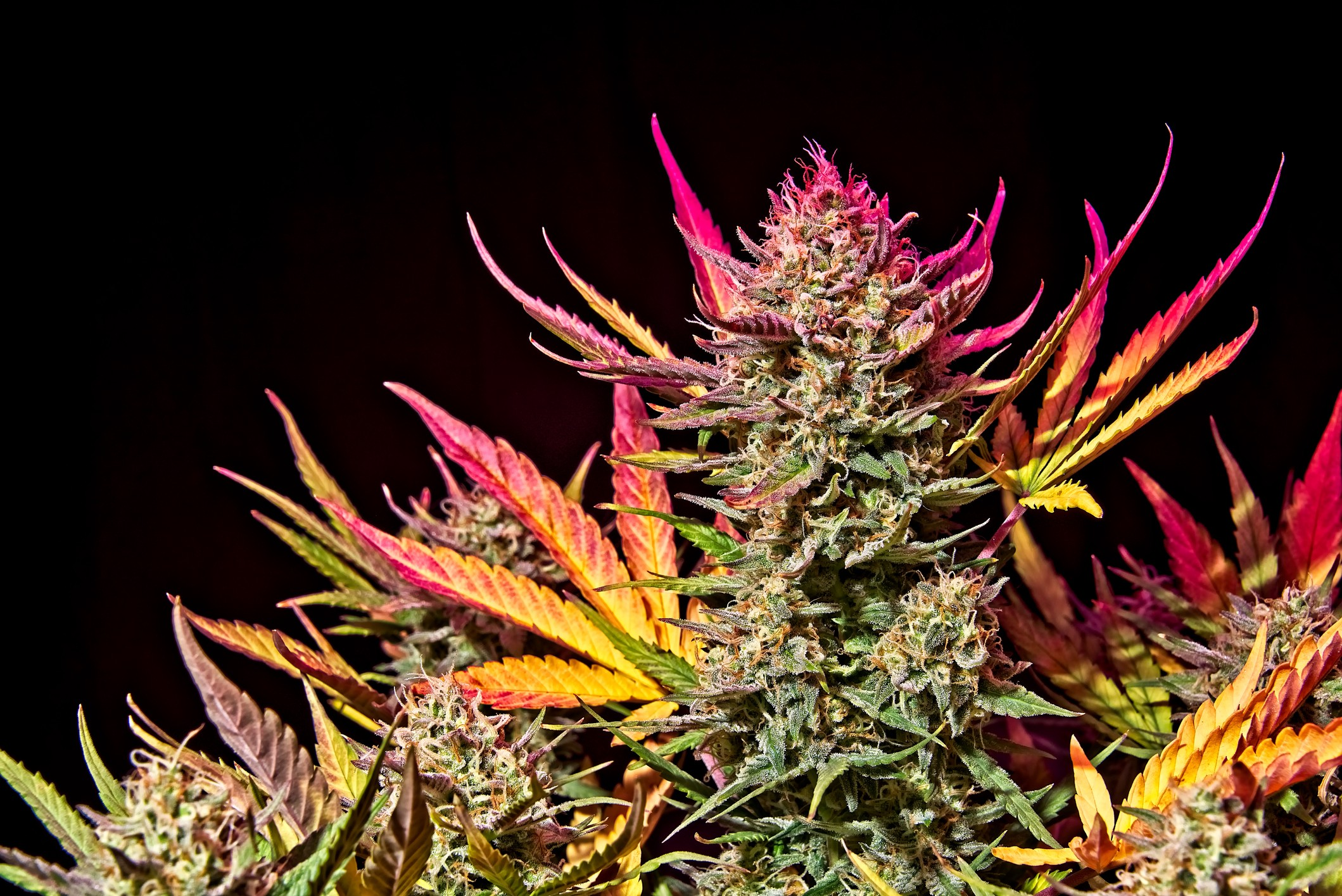 7 Tips And Tricks To Maximize Yields In Autoflowers By Fast Buds Team Medium