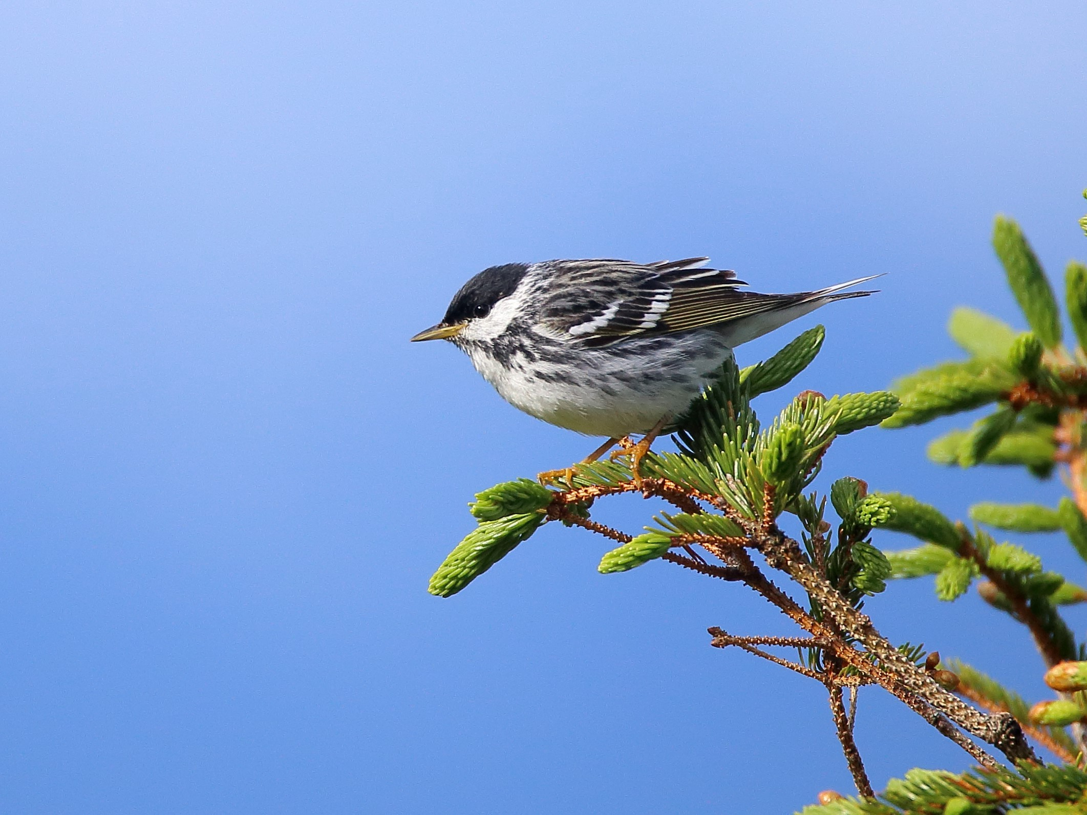 A Blackpoll warbler perches on a conifer branch