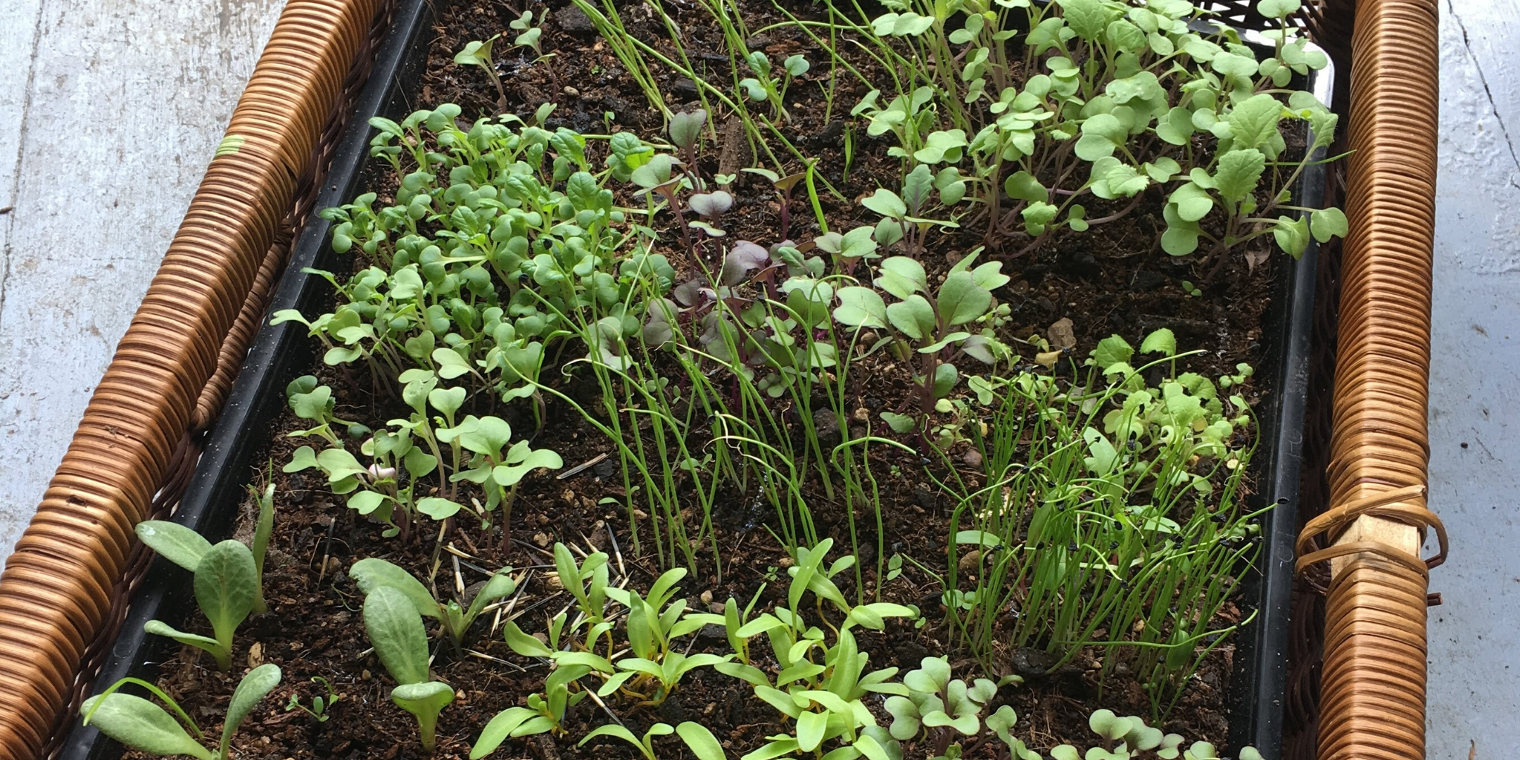 A tray of seedlings with a wide variety of plants growing.