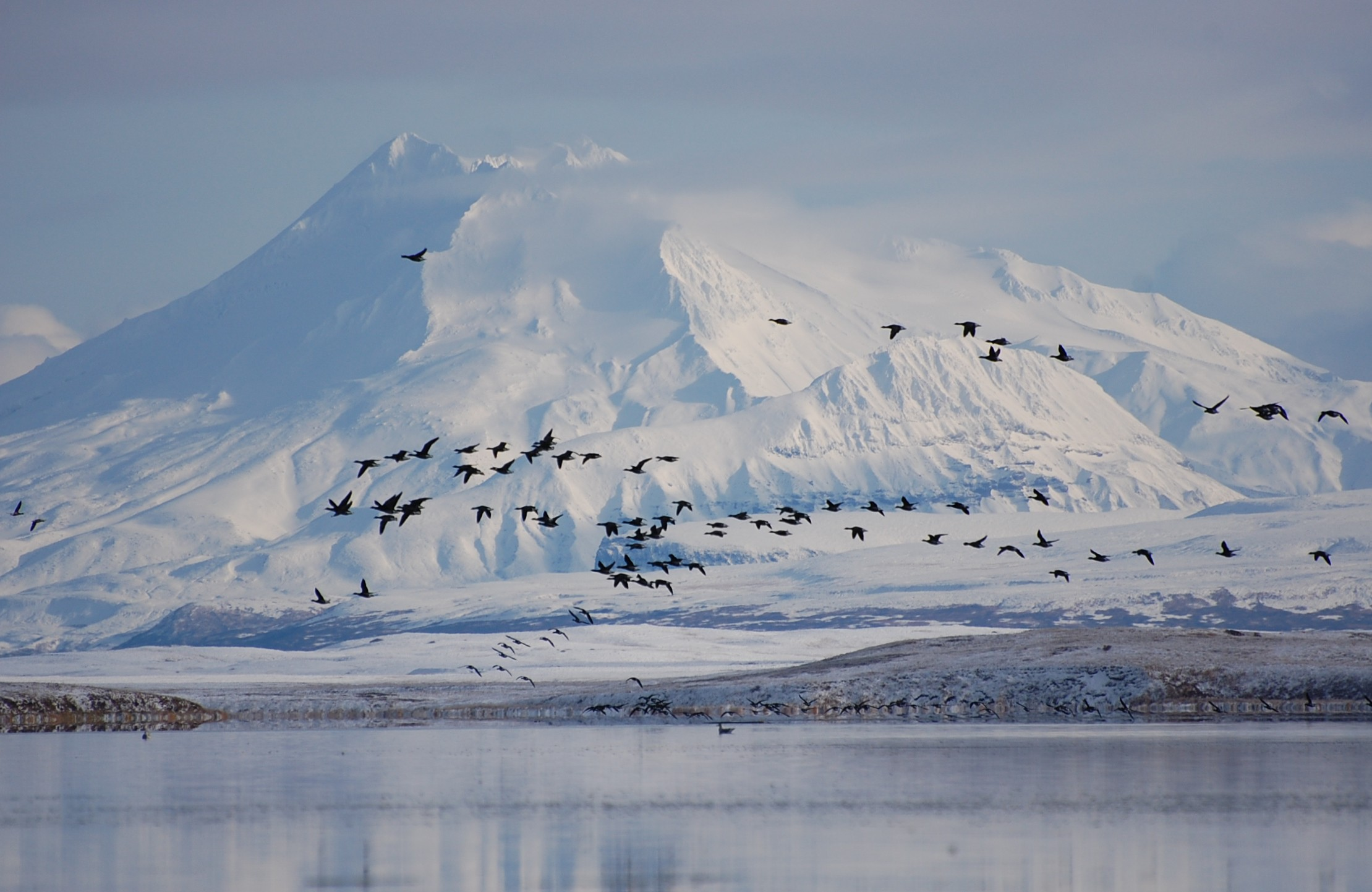 A flock of black brant fly over a body of water with a large snowy mountain in the background