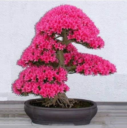 How To Make Sakura Bonsai How To Make Sakura Bonsai By Bsolainebeauchemin Bonsai Sakura Medium