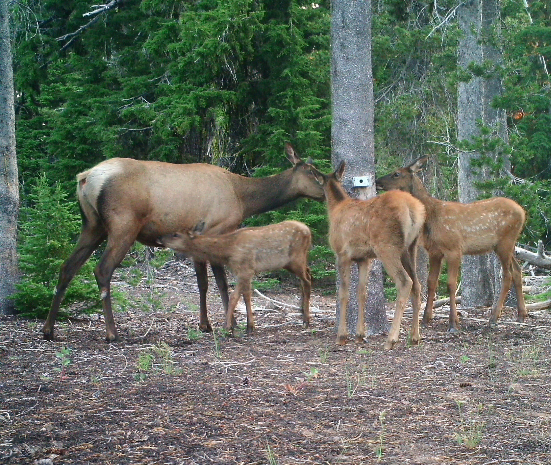 A few small herds of Roosevelt elk call Crater Lake National Park their summer home. Photo by Crater Lake National Park.