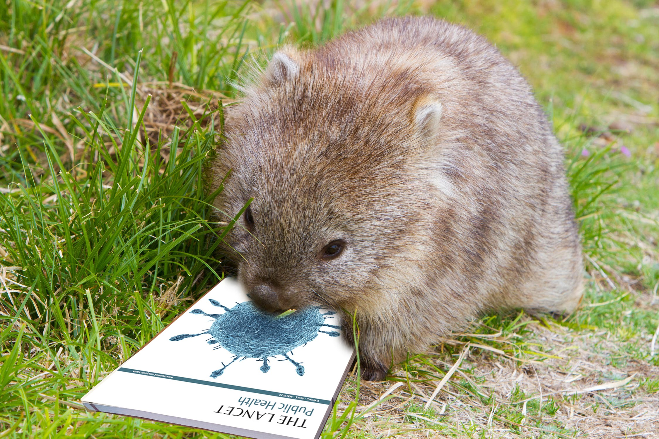 A wombat looks over a copy of The Lancet, with a coronavirus story on the cover