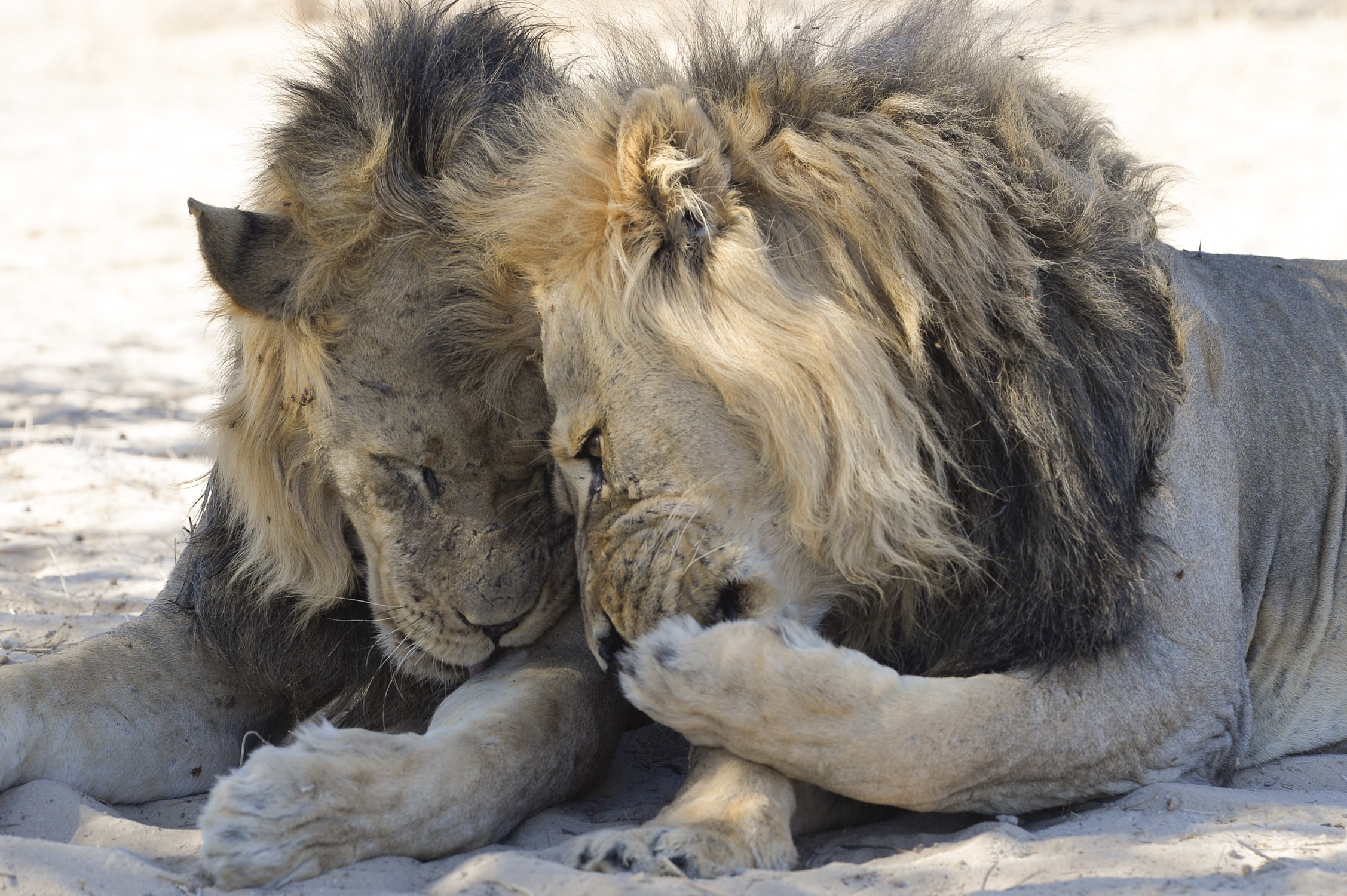 Two maned lions appear to be sharing a secret as one leans towards the other with a paw over his mouth