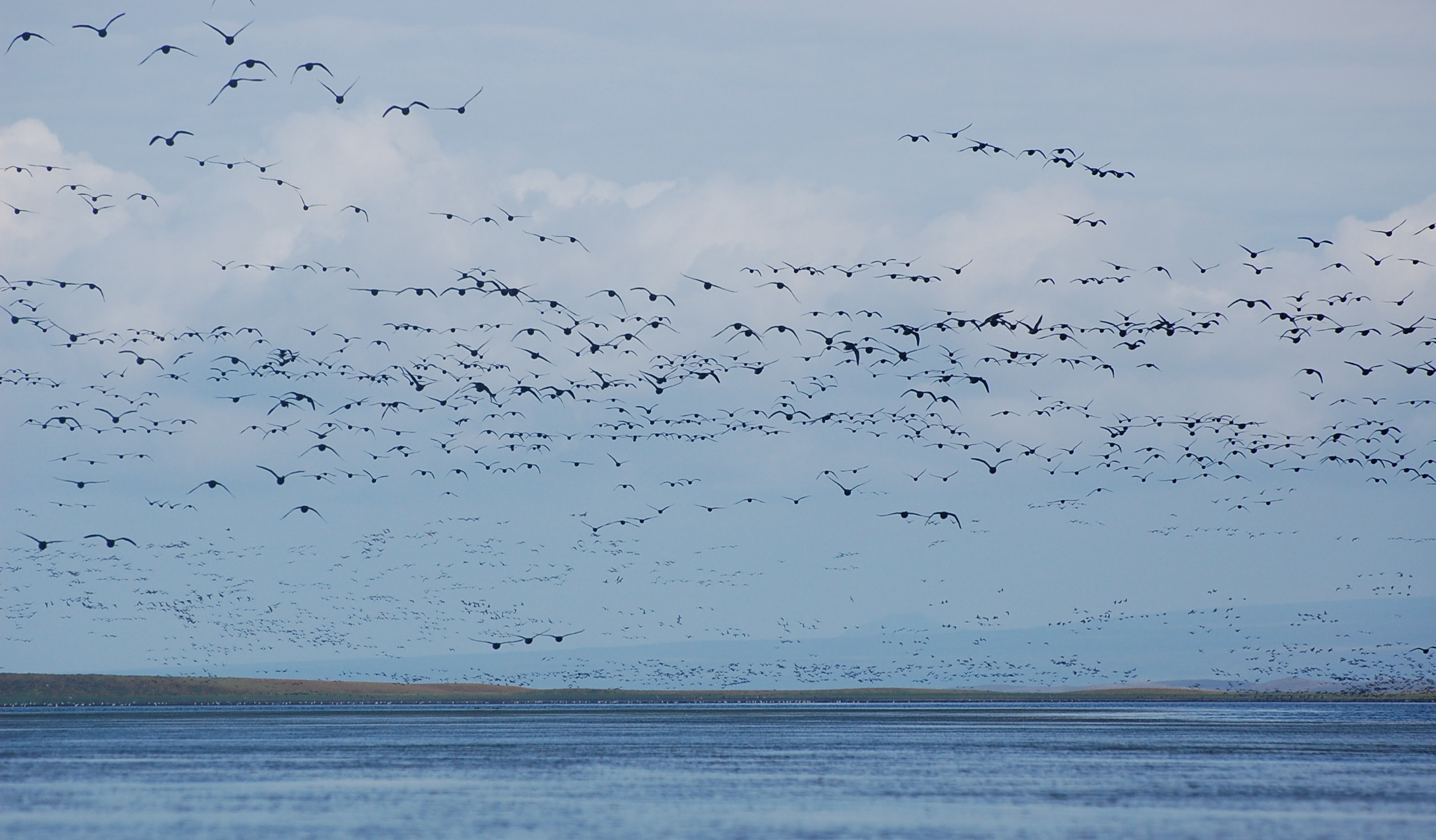 flying black brant flood the sky over a body of water