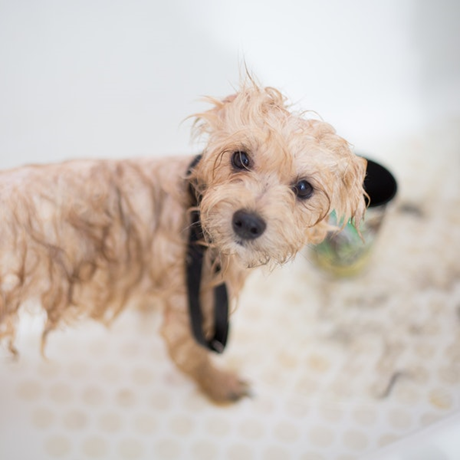 Grooming Your Pets At Home Pet Grooming Activities Can Double As By Dhohoo French Medium