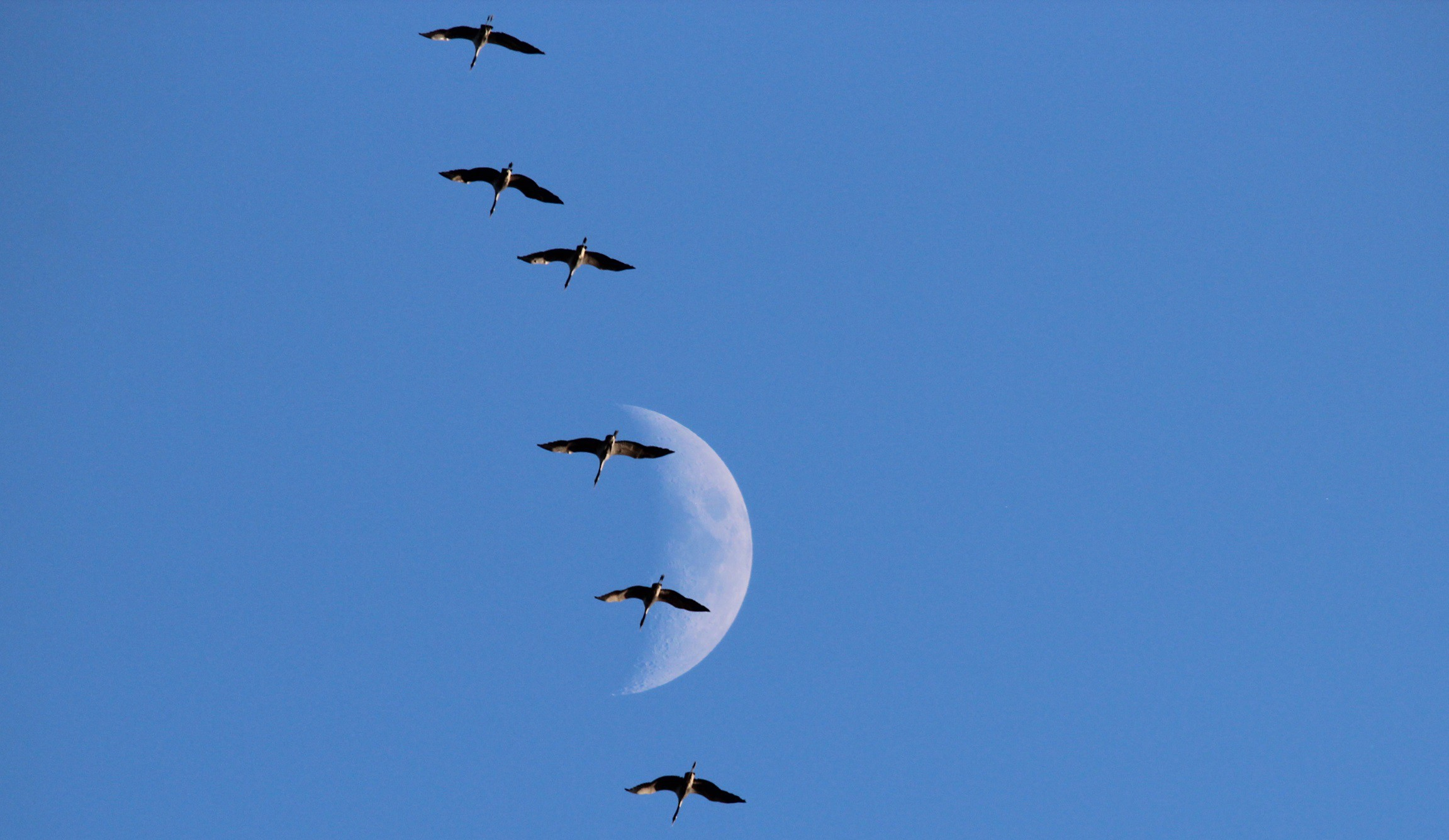 cranes migrate above with moon as backdrop