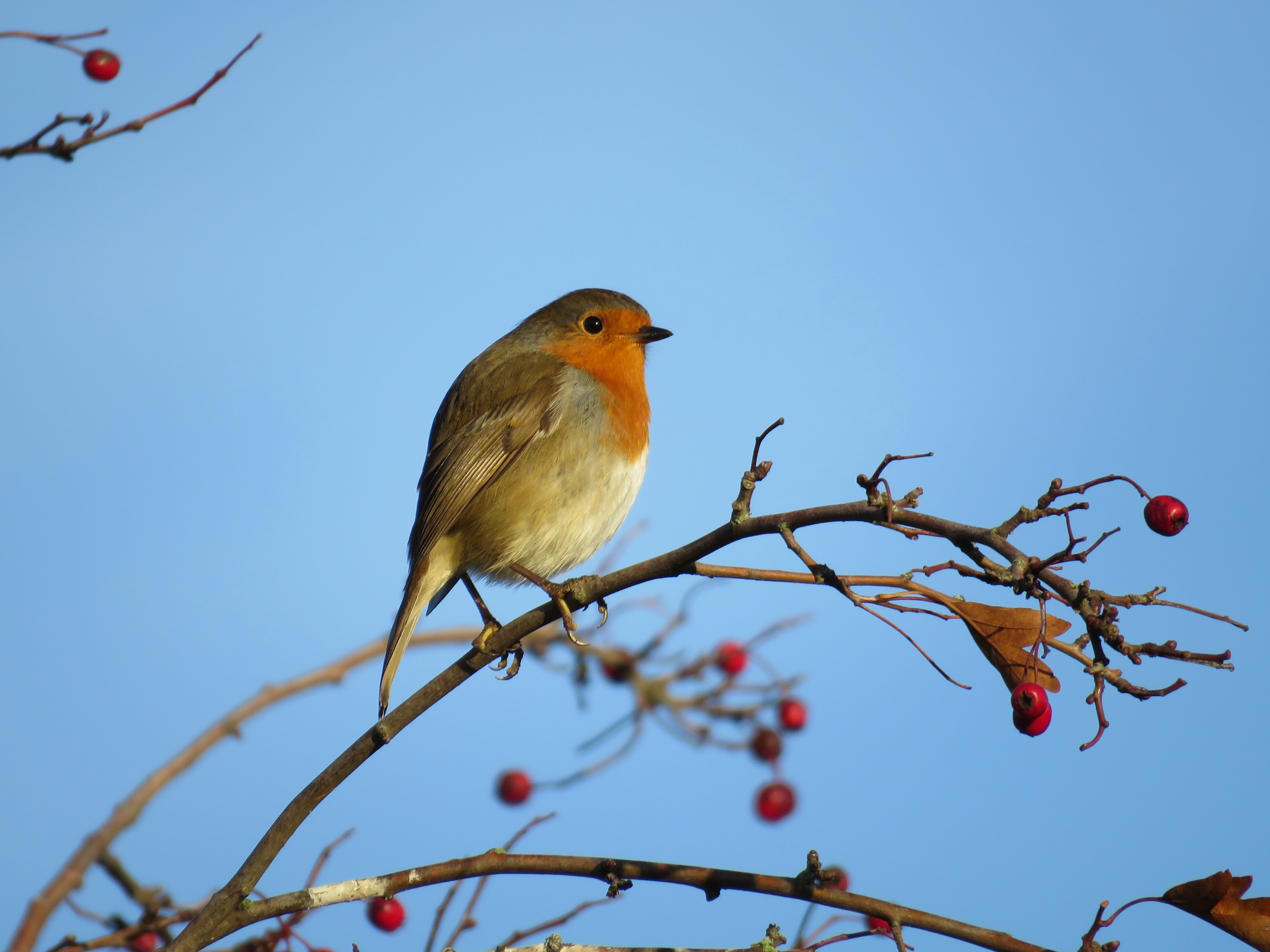a bird sits on a branch surrounded by berries