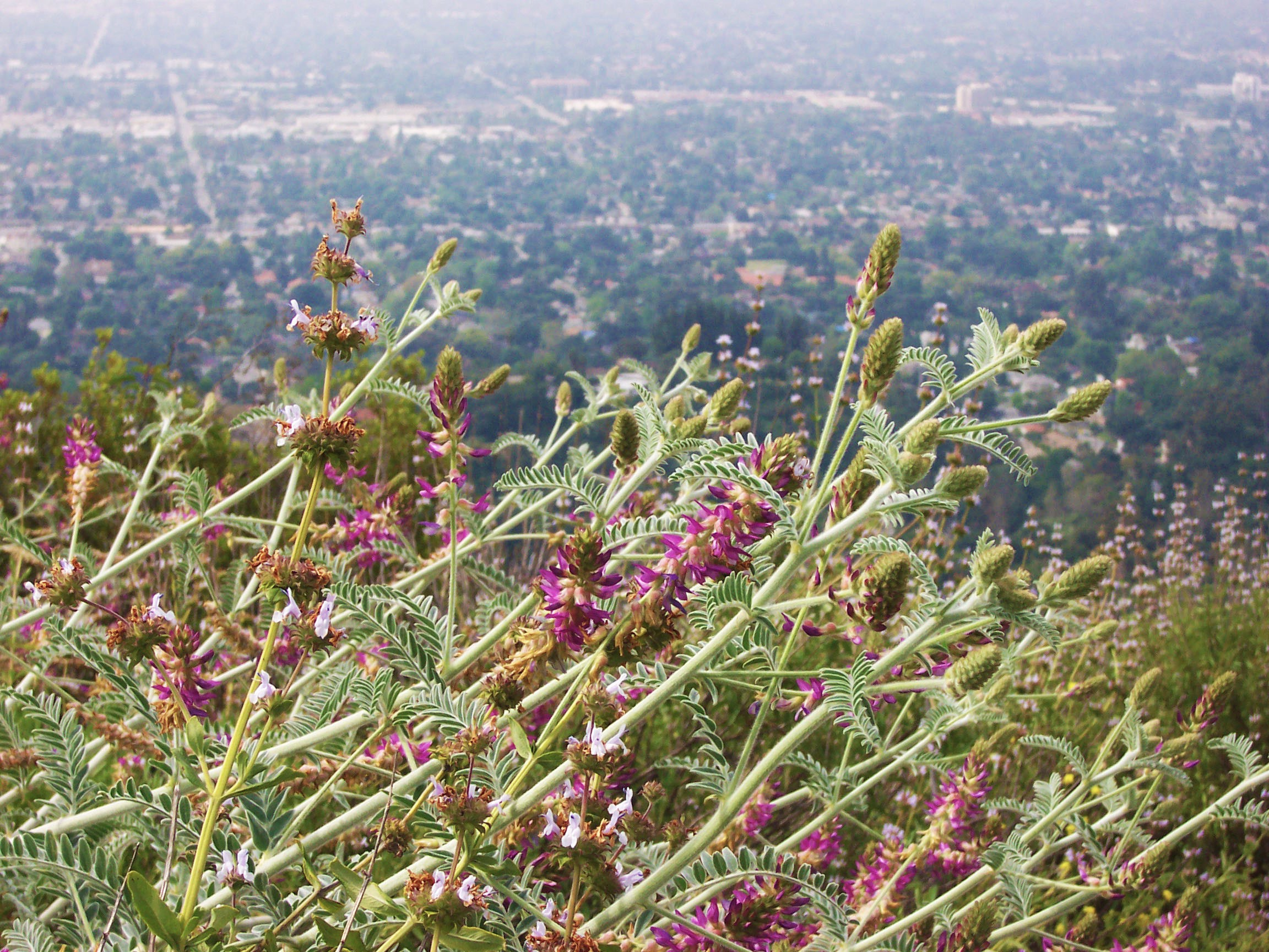 milk-vetch with dark purple flowers on a hill overlooking a city