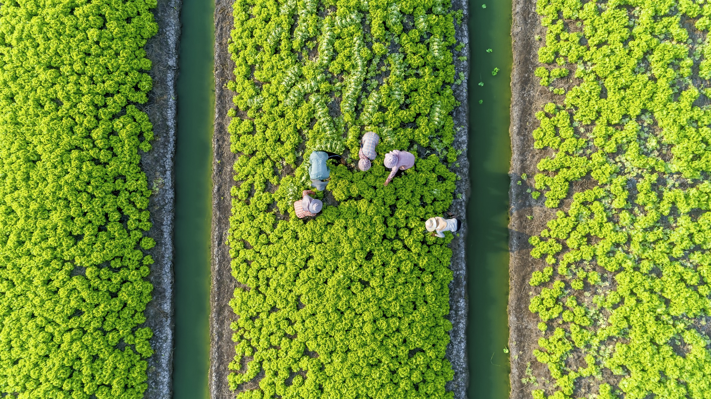 Aerial view of five farmers harvesting Chinese cabbage in Thailand.