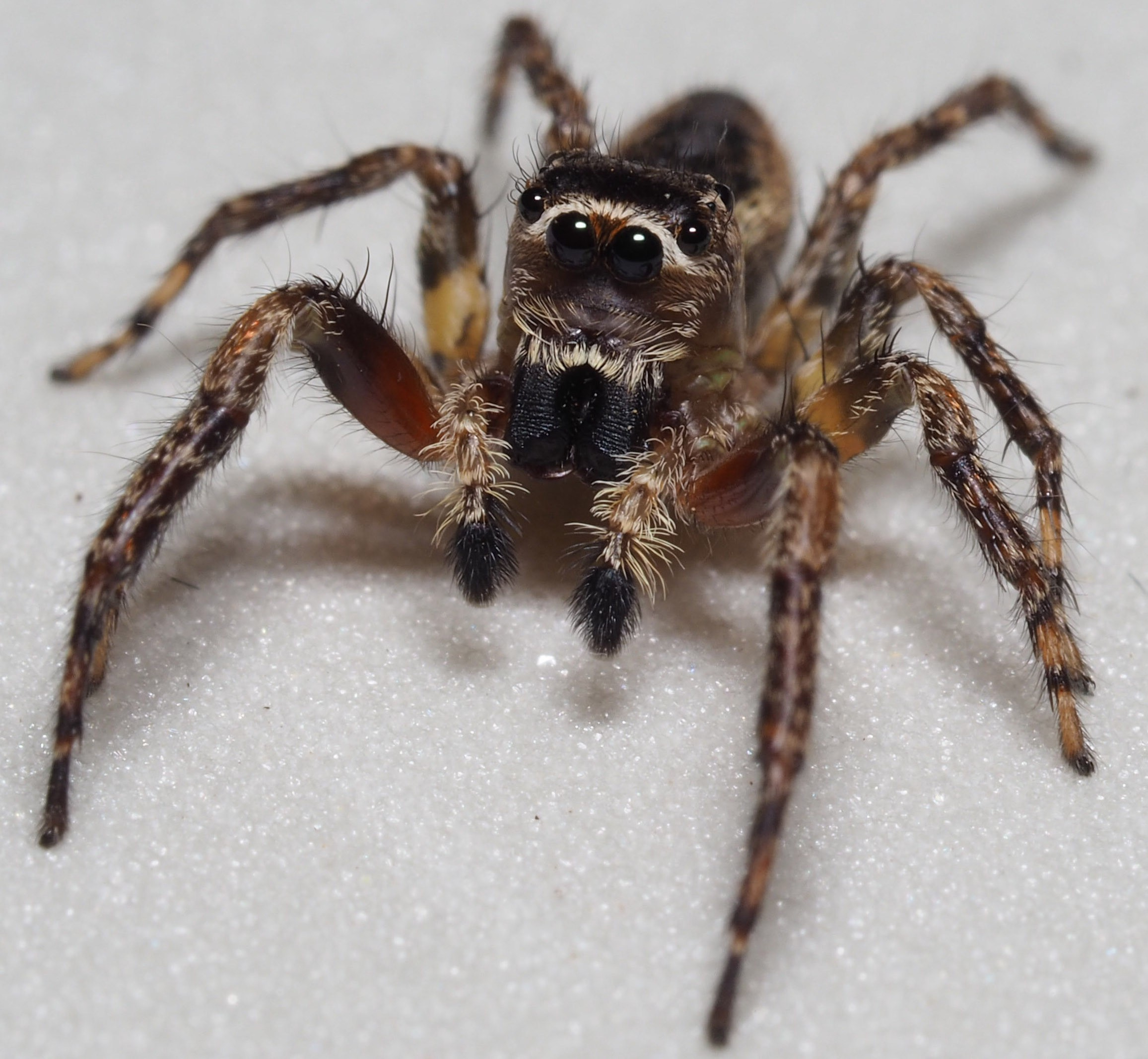 Indistinguishable From Magic Hunting For Spiders In Mexico S Cloud Forests By Ubc Science Ubcscience Medium