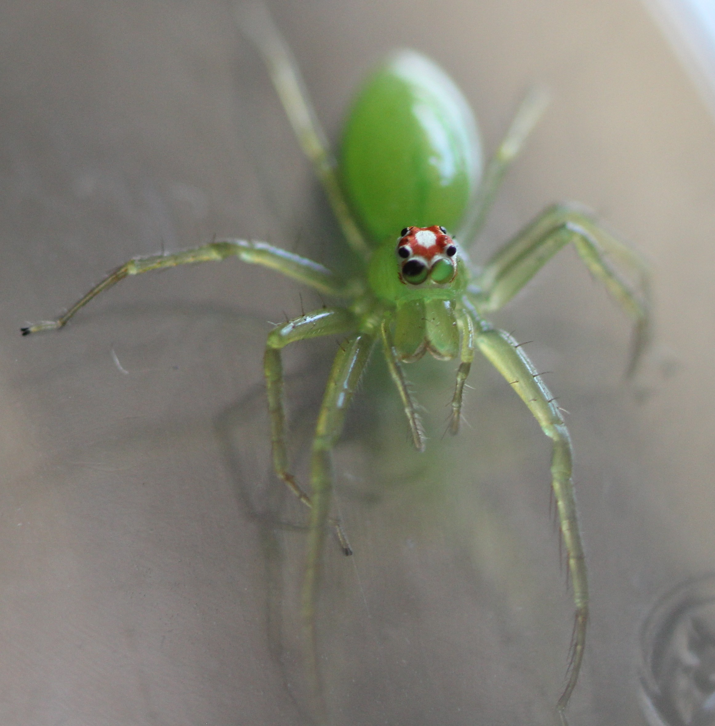 How I ended up with pet jumping spiders - melissa mcewen