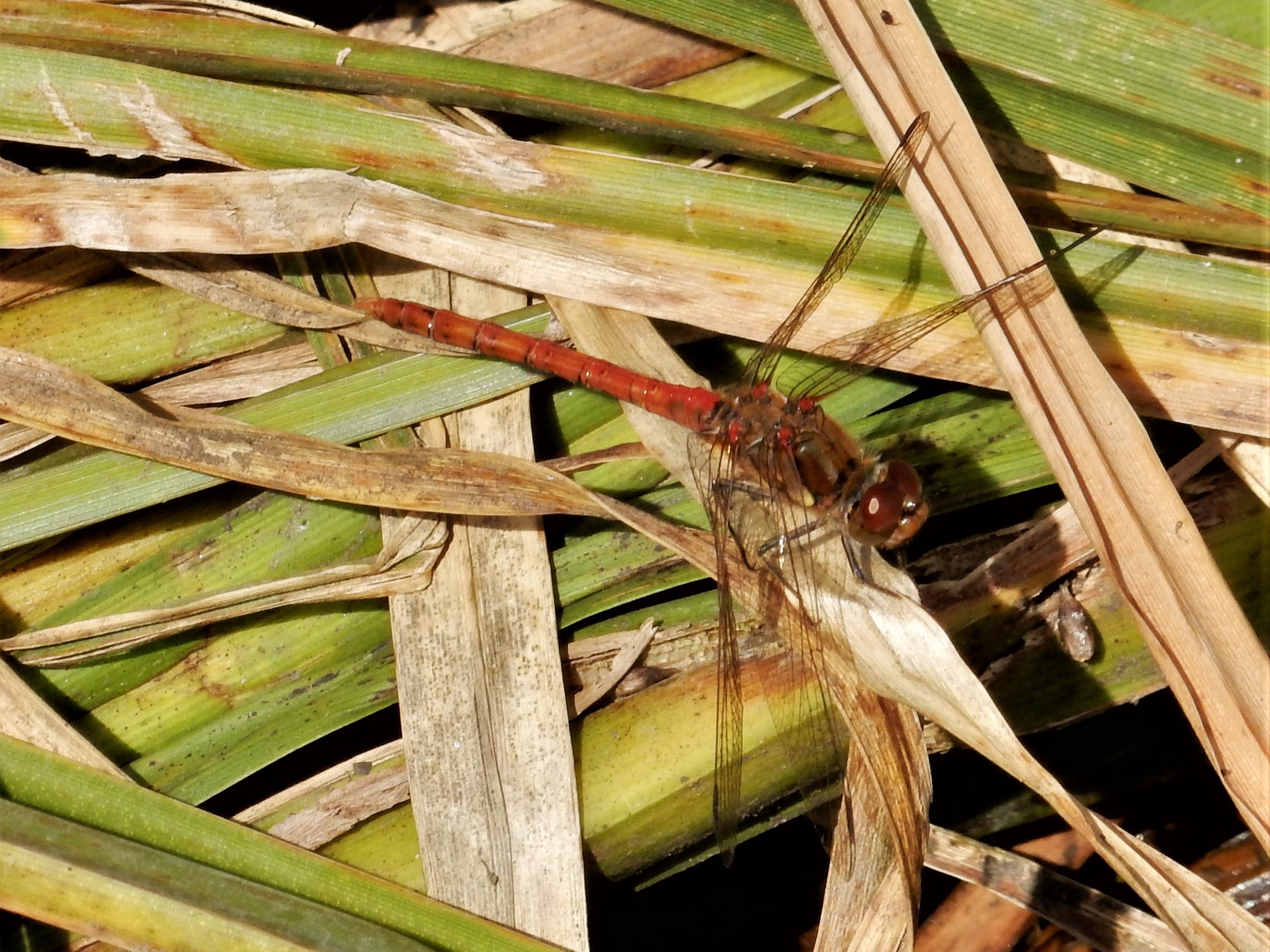 The male common darter dragonfly is long, thin and bright red.