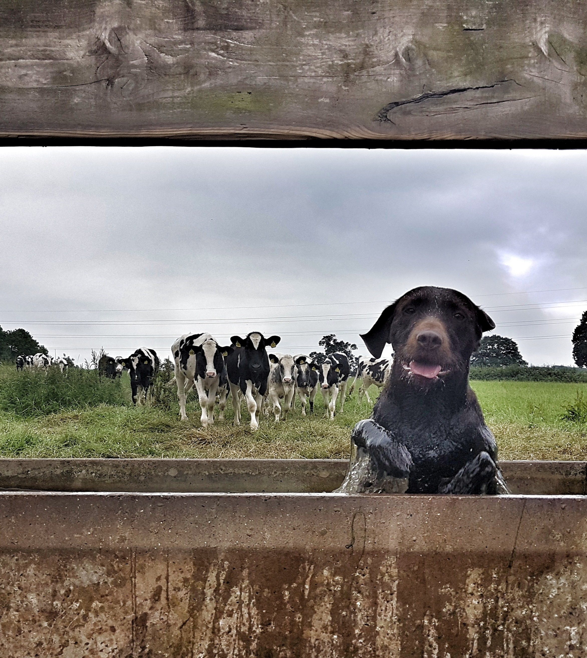 A happy dog appears to be bathing in some kind of farm trough, and a group of black and white cows approach from behind