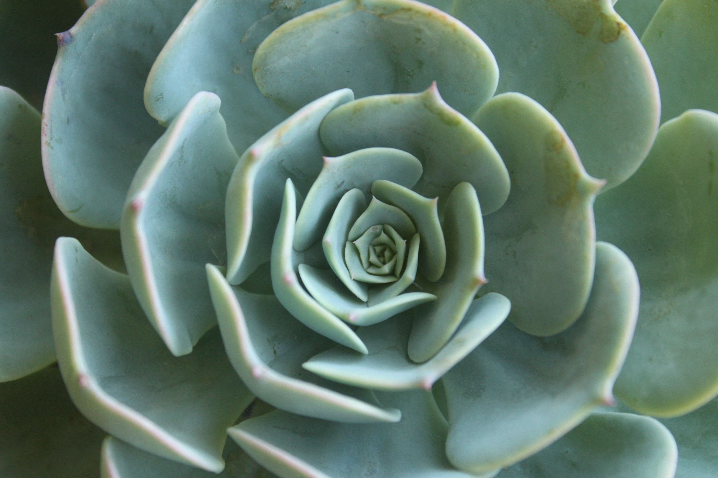 """Closeup of """"hen and chick"""" or houseleek succulent, pale bluish green, appearing as a mandala."""