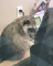 A zoomed-in photo of one of the raccoons sitting on an office desk near a typical office phone, looking towards the ground