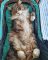 A fluffy brown cat with a white belly and paws lounging on its back.