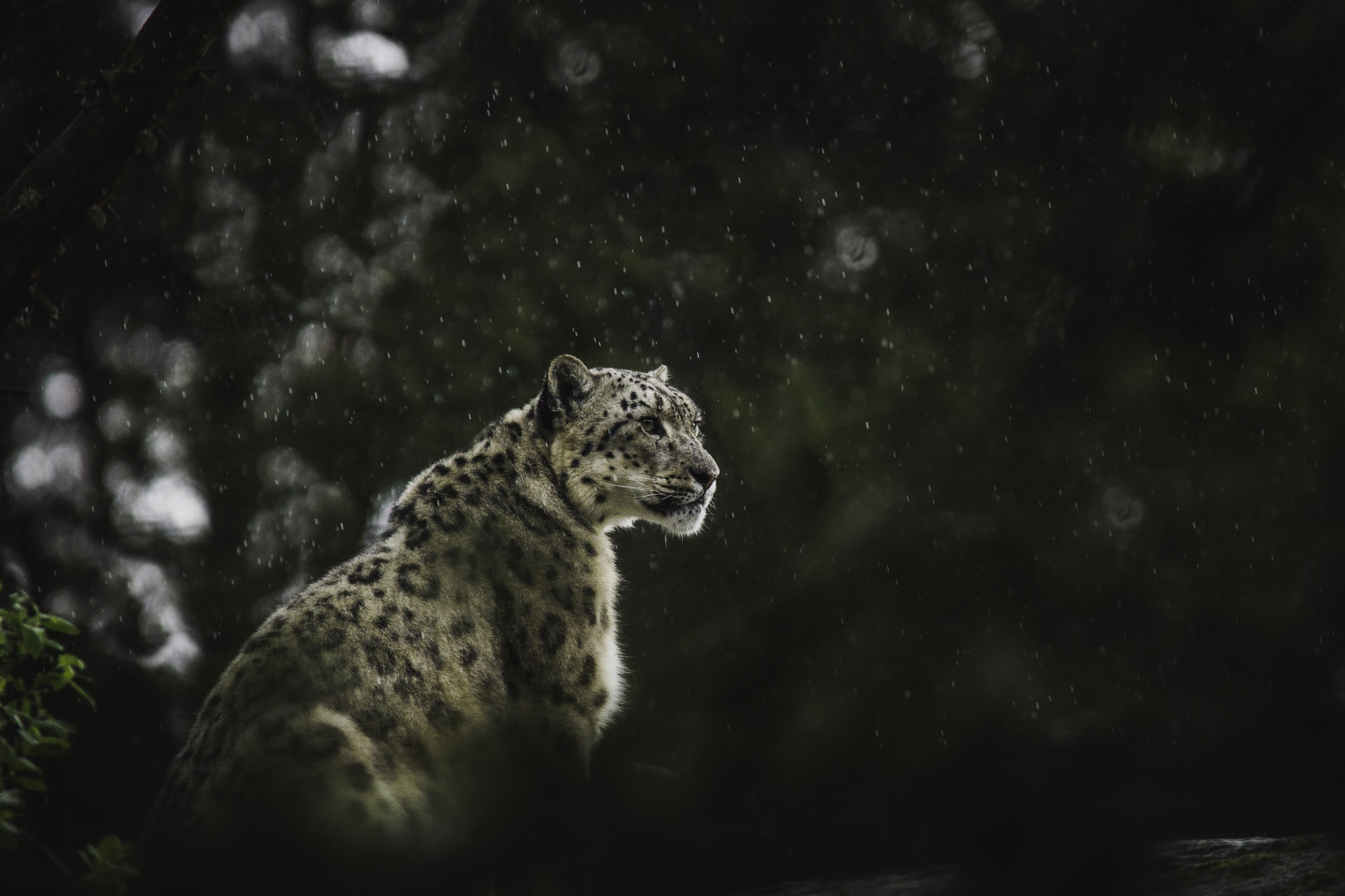 snow leopard looking outward