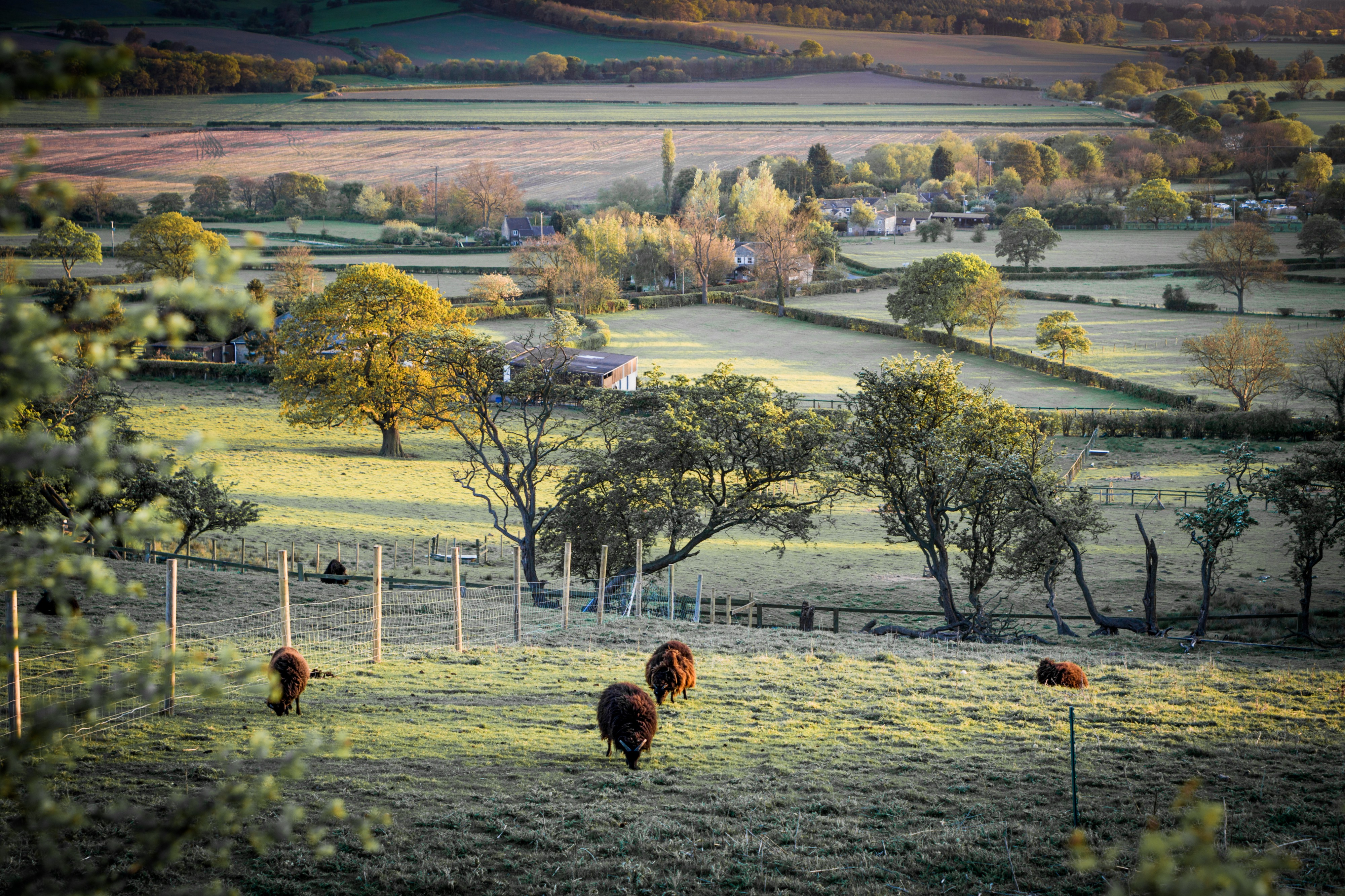 bucolic picture of pastures with cows