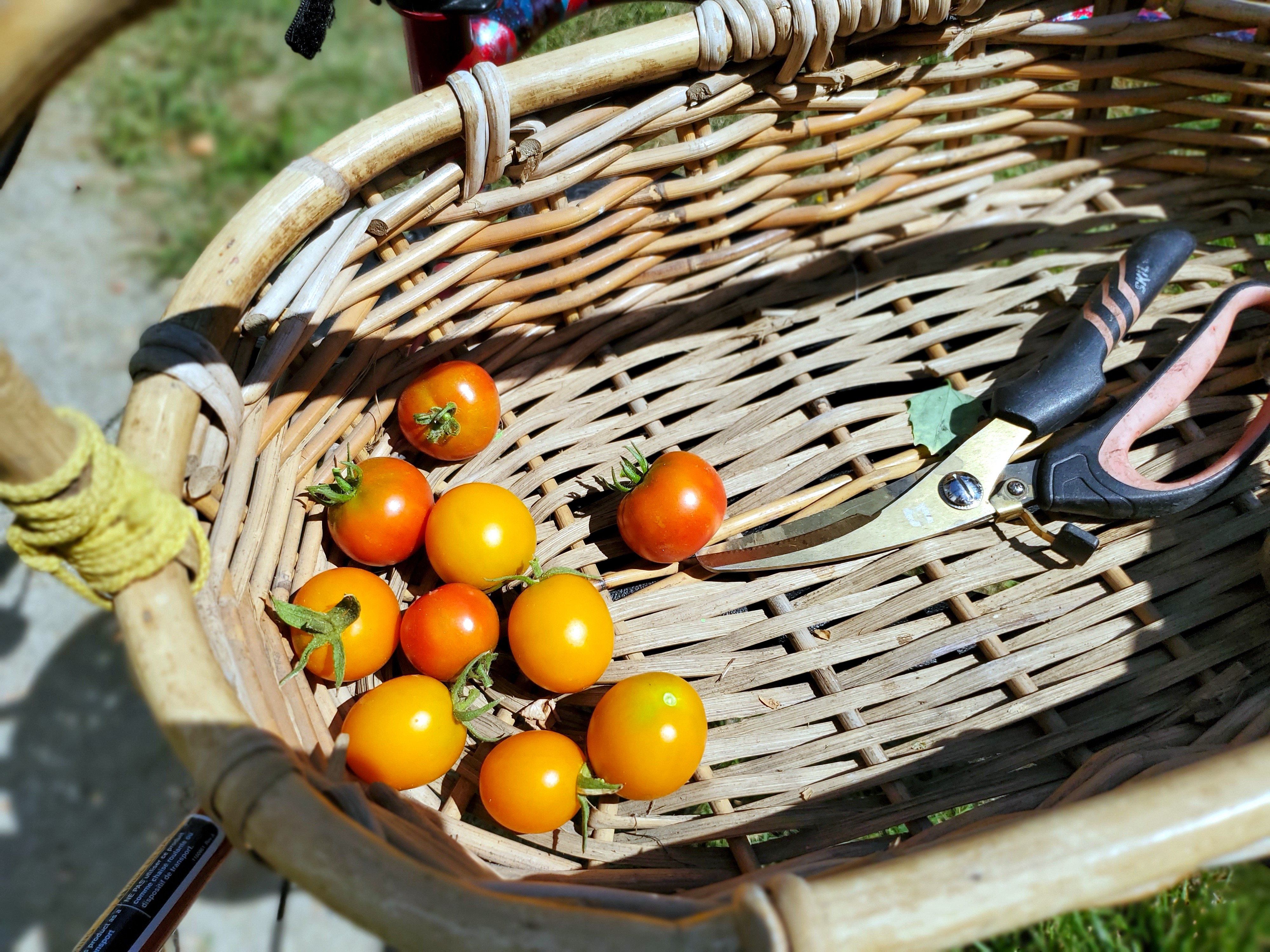CLose up of a wicker basket with a pair of shears and nine small tomatoes