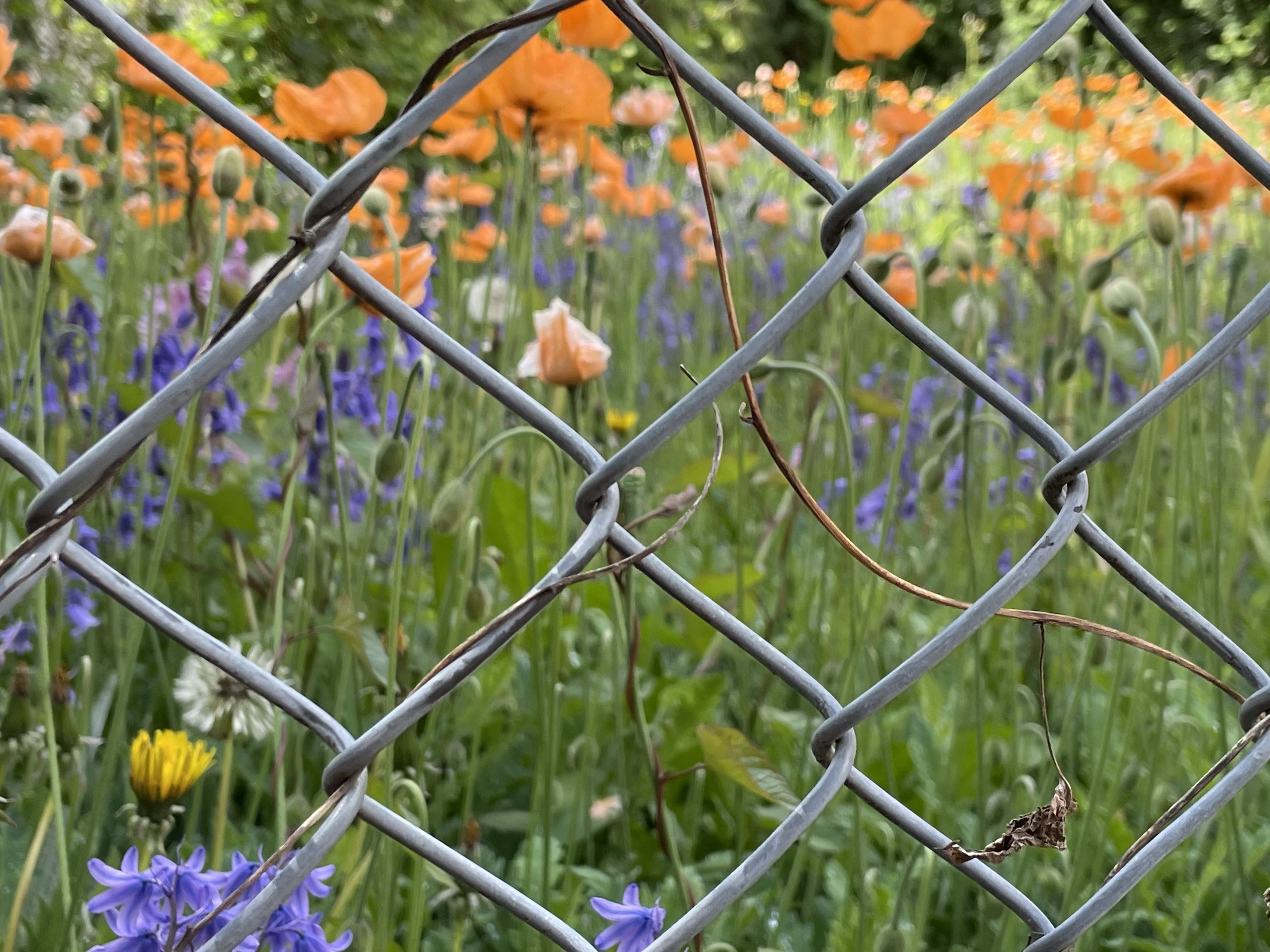 Photo of chain link fence and small meadow of poppies, grass and wildflowers with dry tendrils climbin up fence.
