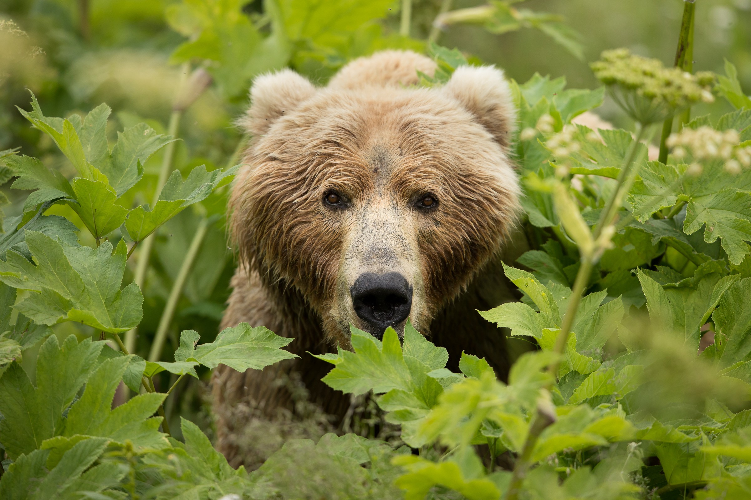 Kodiak brown bear looking directly at the camera