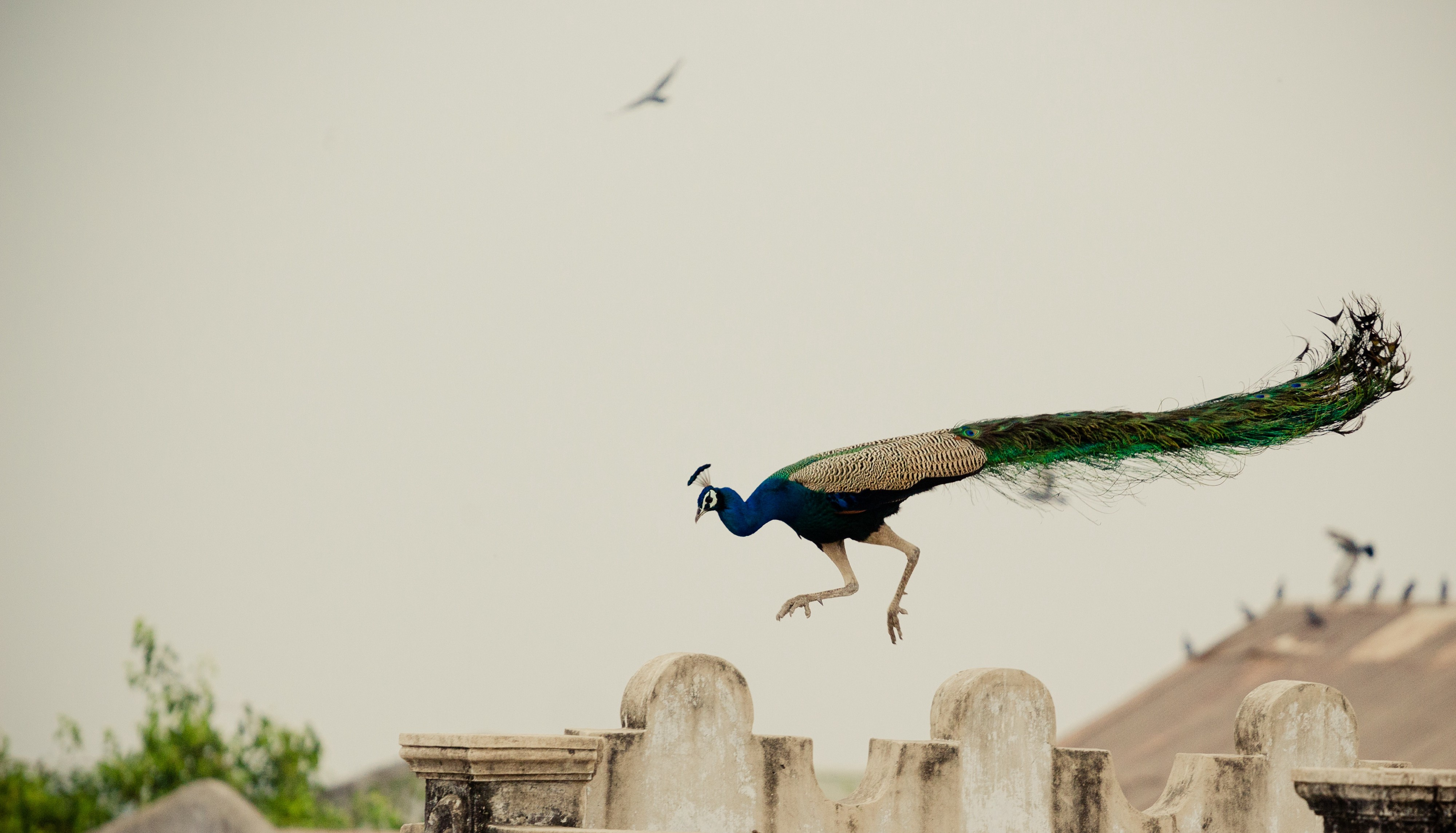 Peacock Jumping over Brown Concrete Wall