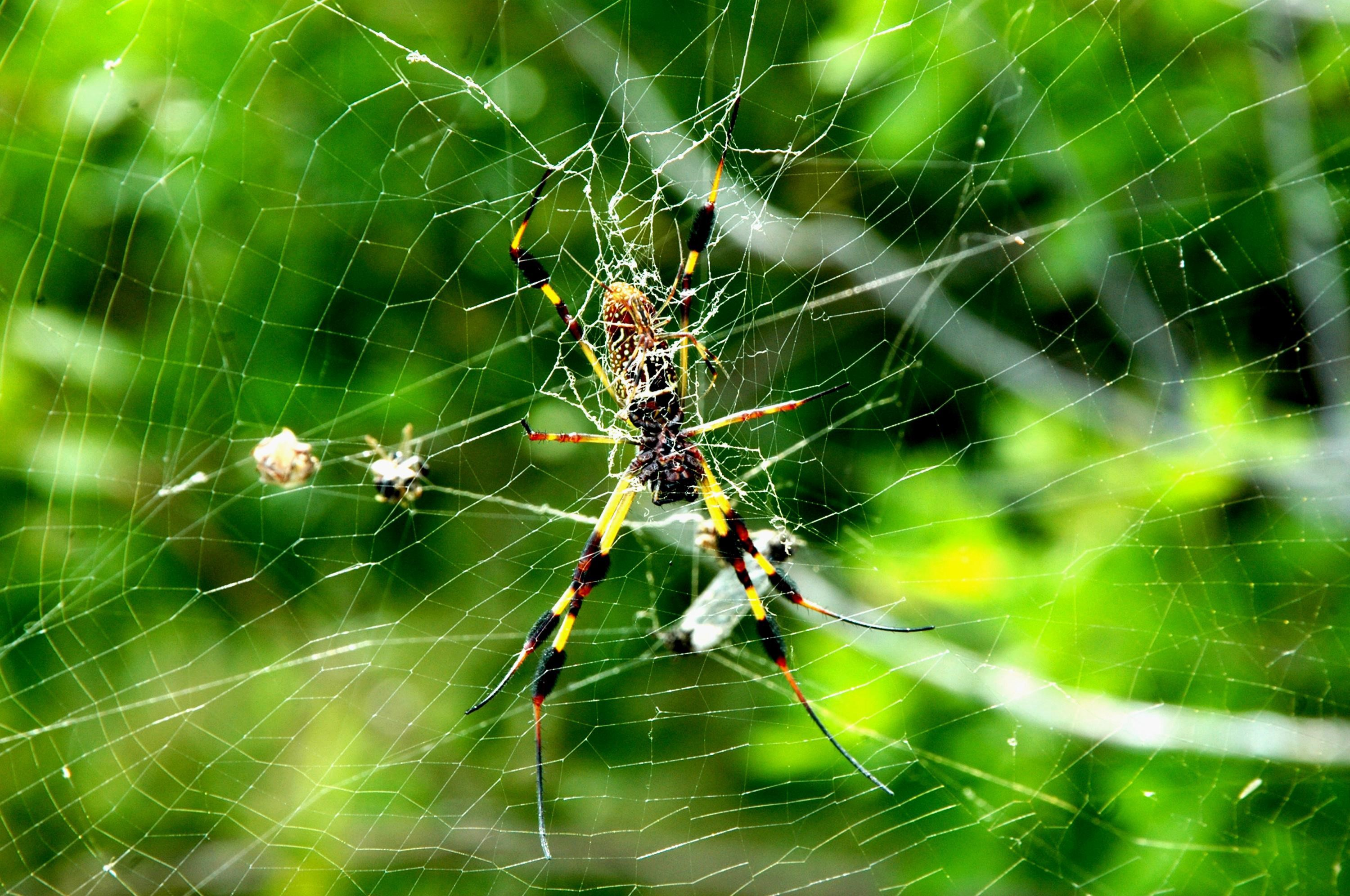 A Golden female Golden Silk spider
