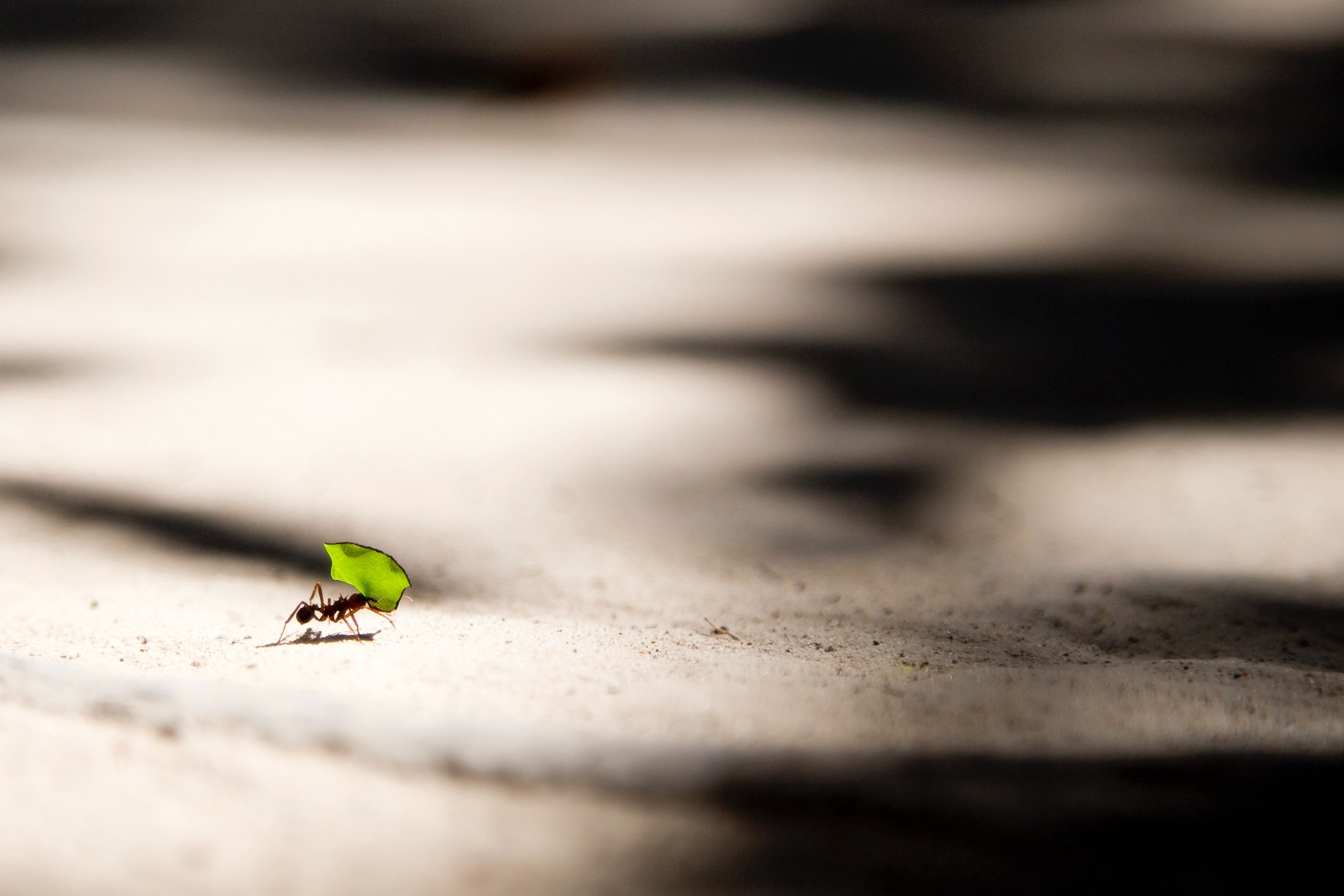 A small solitary ant carrying a leaf across a large, flat surface.