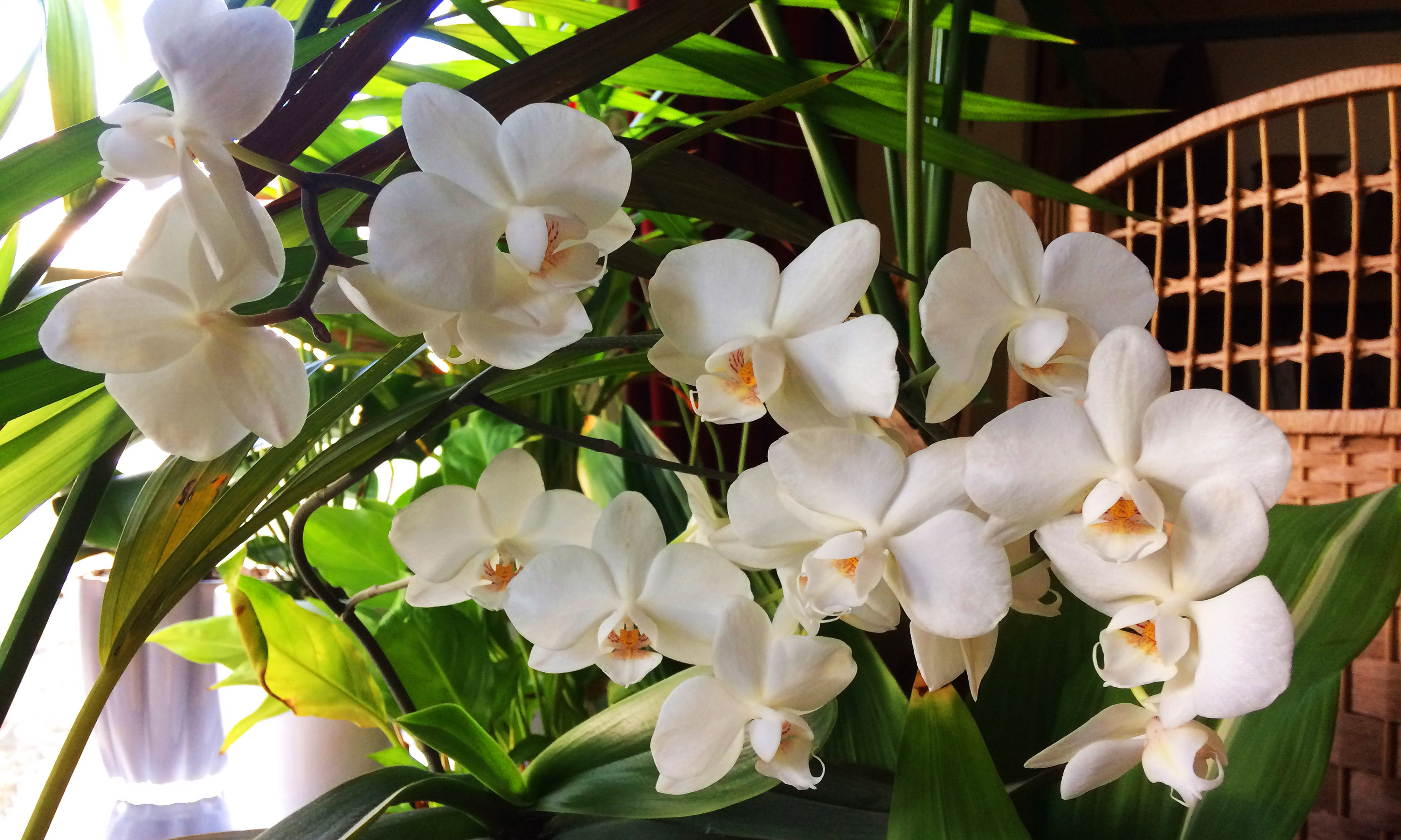 White orchids.