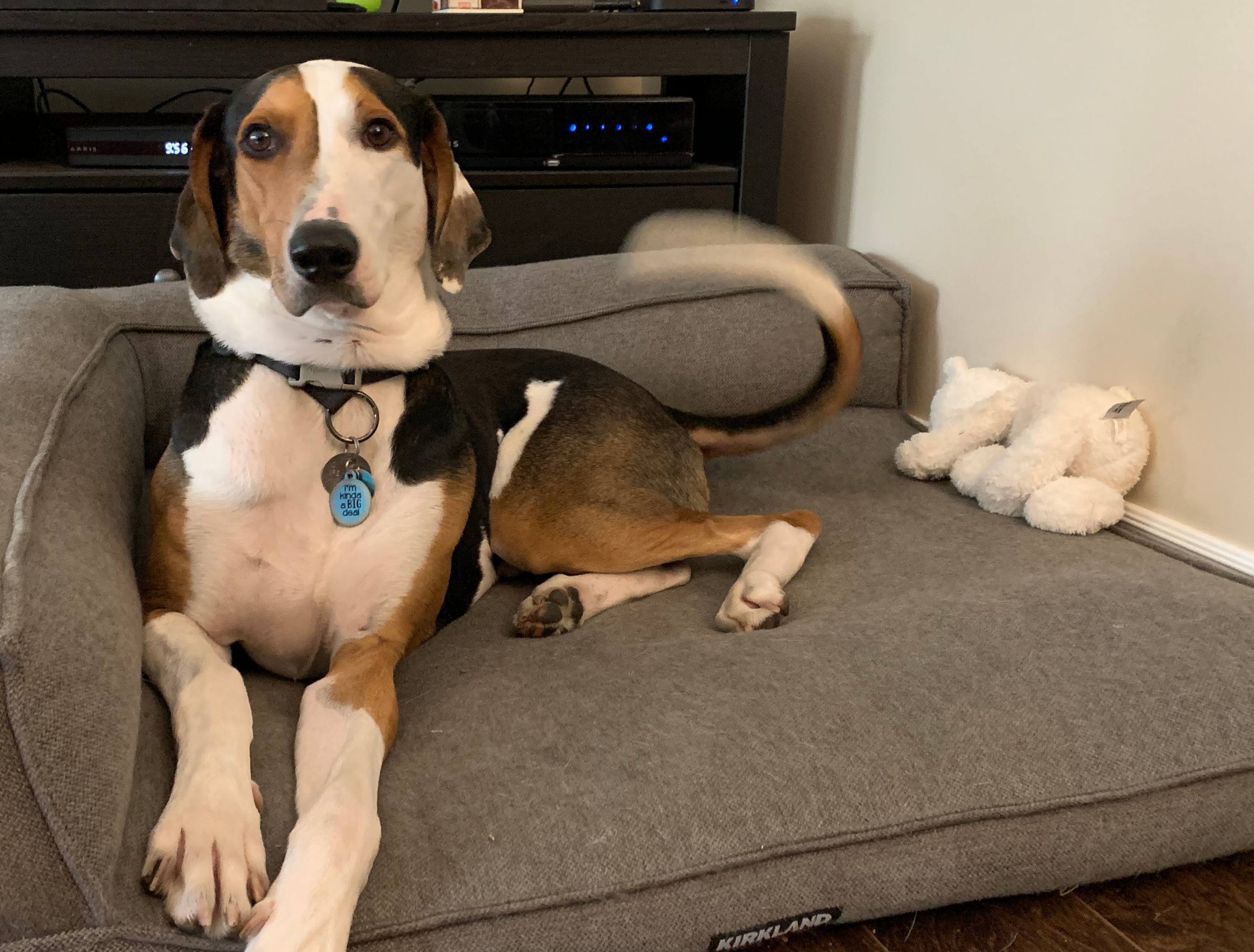 A Treeing Walker Coon Hound — Greyhound cross: Mr. T is black, white & tan. He is lying on a dog bed, head up, tail wagging.