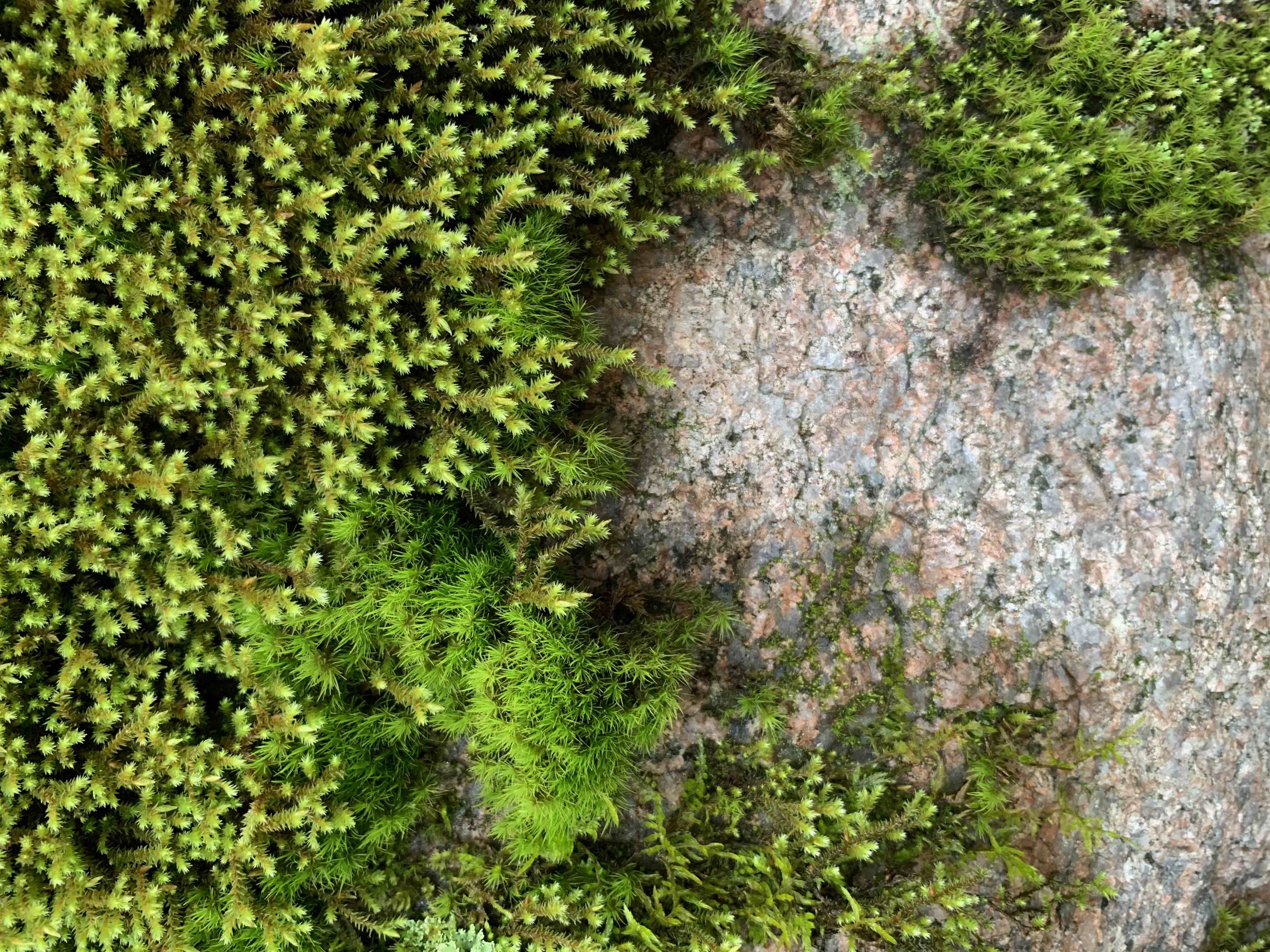 Green moss on a granite boulder. Photo by author. CC-BY license.